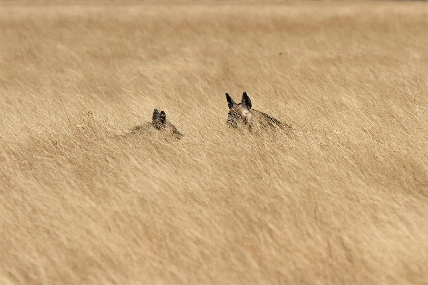 With a brown coat and dark stripes, hyenas can easily camouflage themselves when they want to stay hidden in the tall, golden grasses of the Blackbuck National Park, Velavadar. Photo: Shreeram MV