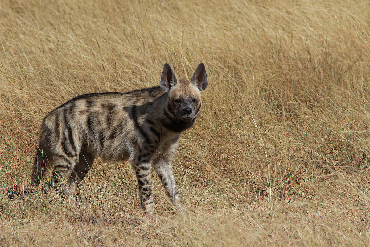 The striped hyena is largely a solitary forager but it does come together in family groups around dens. Photo: Shreeram MV