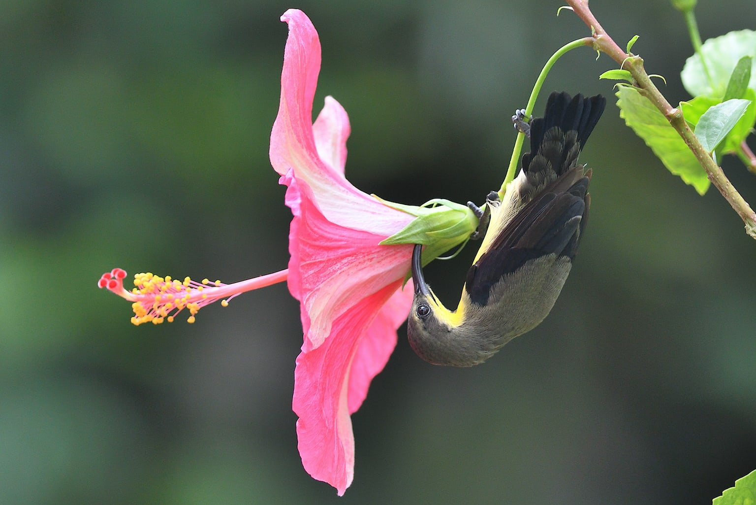 ANIRBAN GHOSH of North 24 Parganas, West Bengal, photographed this acrobatic male purple sunbird collecting nectar from a pink hibiscus flower growing on a plant in his courtyard.