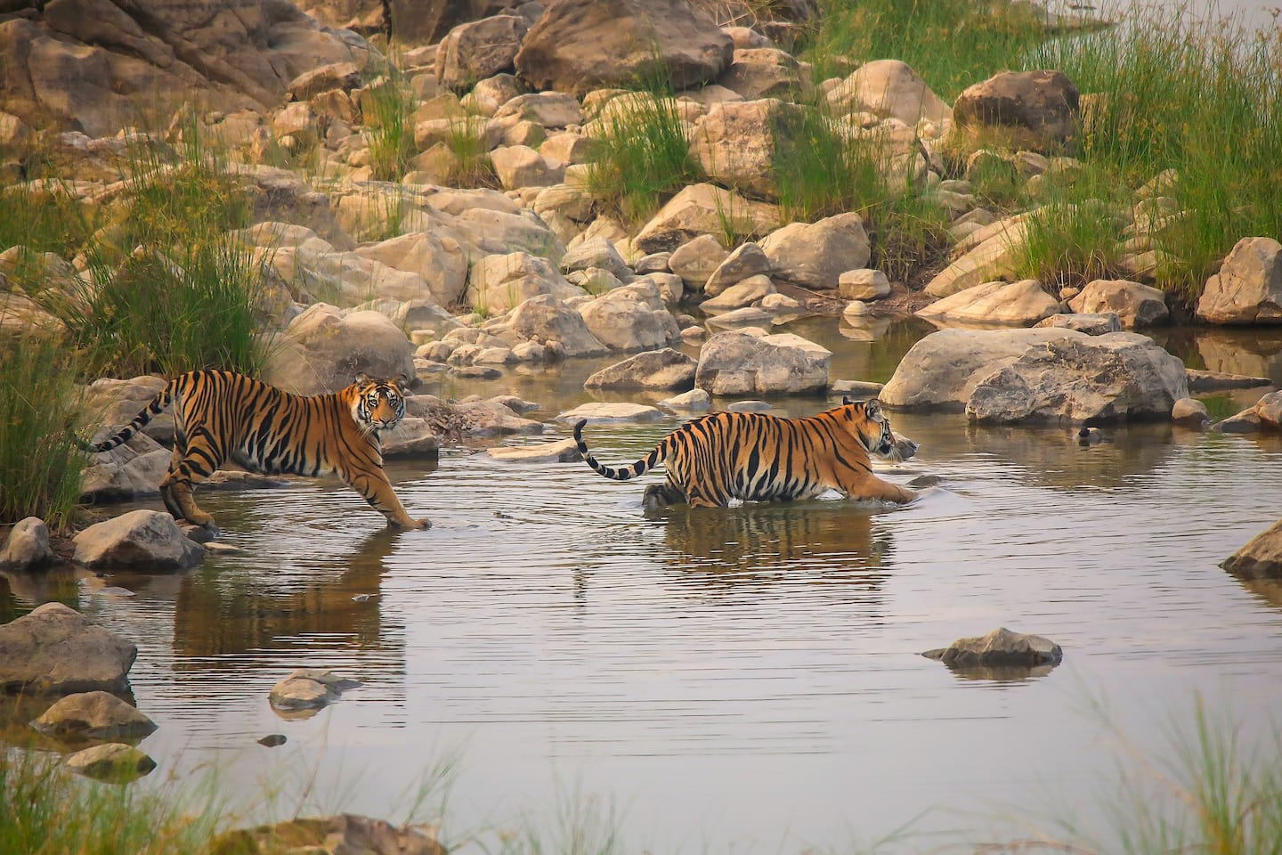 Tigers are solitary animals, except for females raising cubs. Cubs, seen here frolicking in the Ken River, stay with the mother for two-three years, after which they seek their own territory. Photo: Phalgun Patel