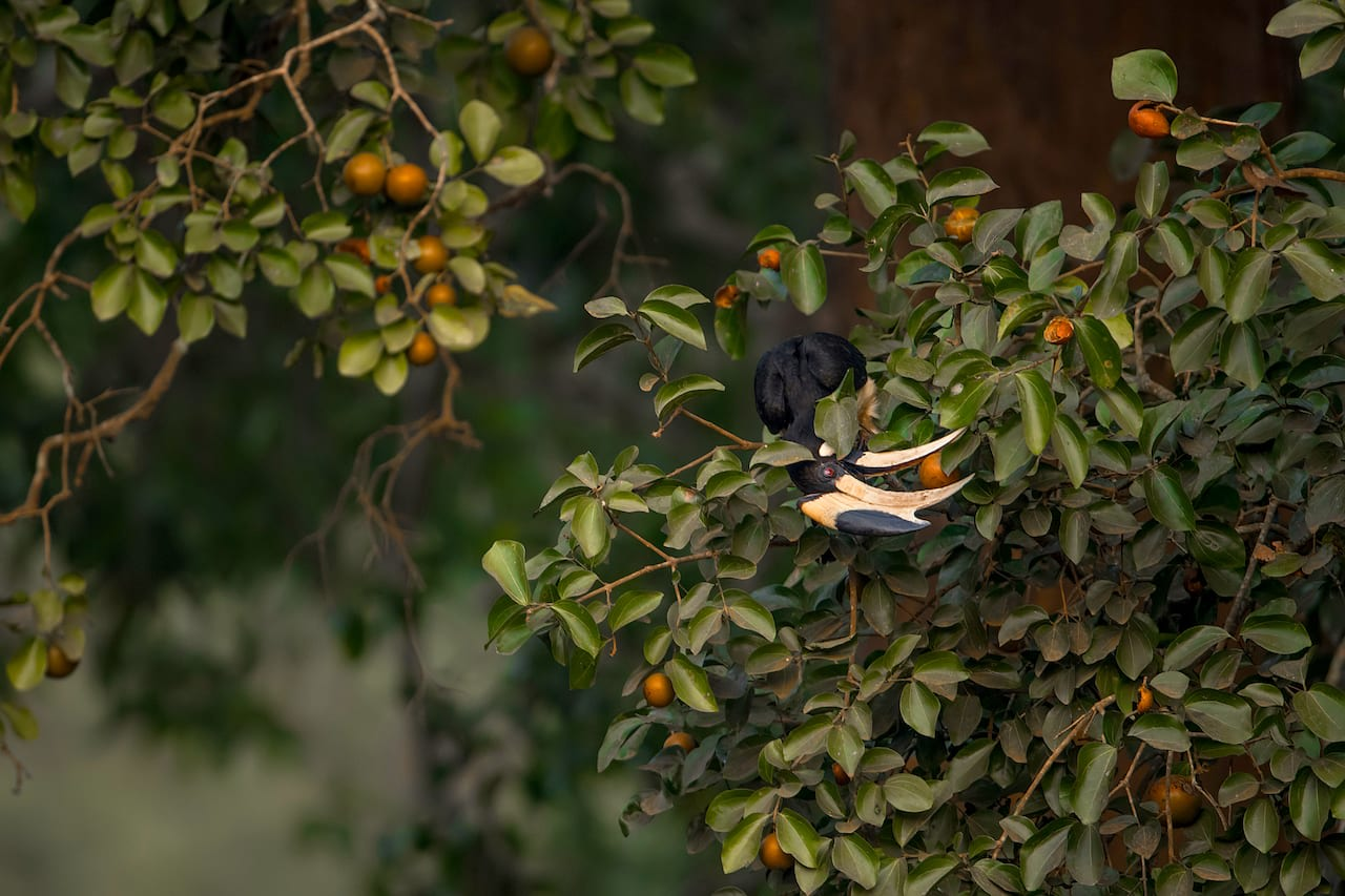The seemingly harmless orange fruits of the poison nut (Strychnos nux-vomica) tree have bitter and highly poisonous seeds. The fruit, however, is not toxic and birds and primates eat it. Photo: Arvind Ramamurthy  Cover Photo: Nagarhole National Park and Tiger Reserve is dominated by moist, deciduous trees that turn lush green during the abundant monsoon. Cover Photo: Dhritiman Mukherjee