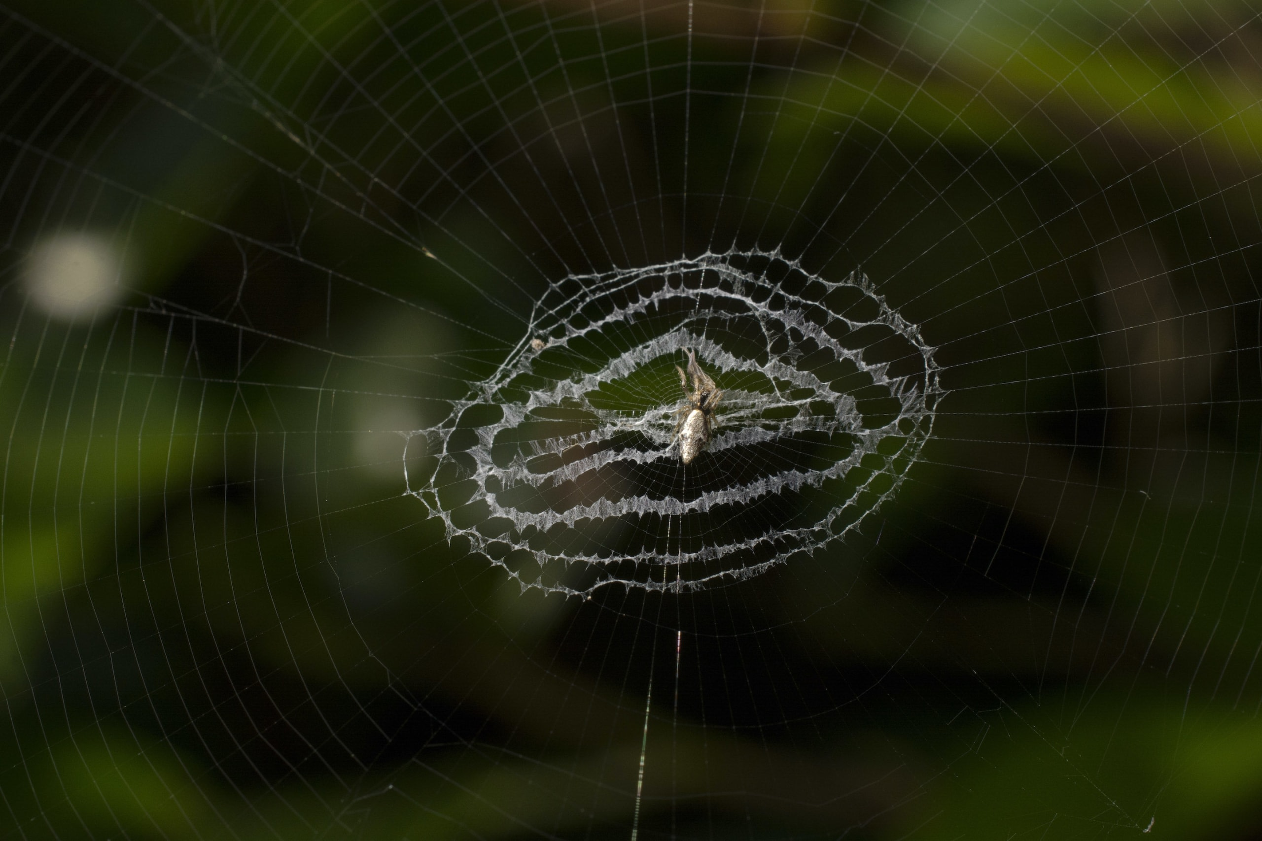 Spiders in the genus Cyclosa decorate their orb-webs with silken structures called stabilimenta. These structures work as a mode of camouflage for the spider. Photo: Samuel John