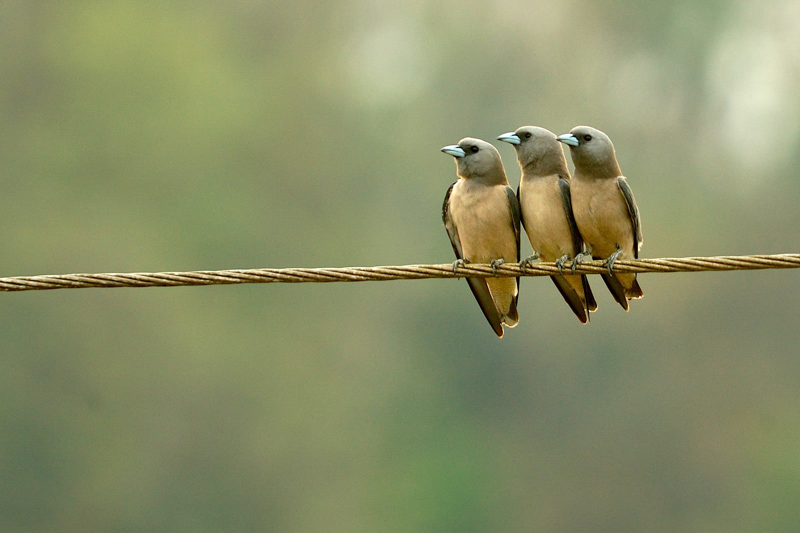 Sitting in the garden, I would often hear the unmistakable calls of the ashy woodswallow and would also see them huddled together on the powerlines. Photo: Kalyan Varma, CC BY-SA 4.0