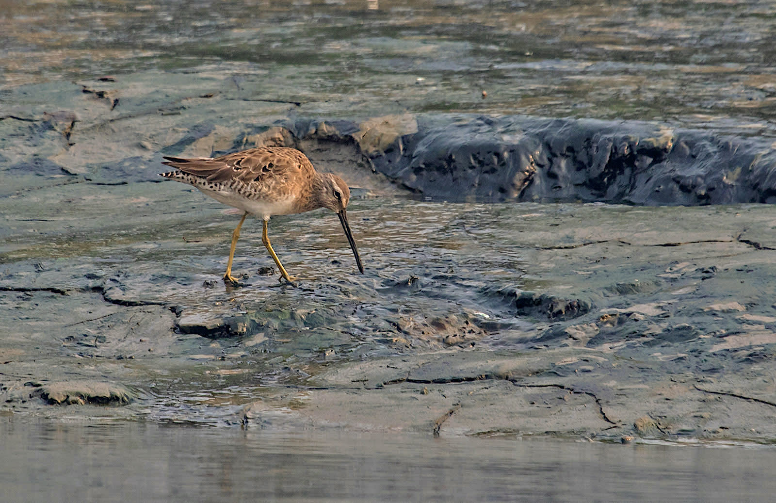 The wader uses its long bill like a sewing machine needle to probe for insects, molluscs, crustaceans, and marine worms in shallow waters or mud. Tactile receptors called Herbst corpuscles on the tip of its bill allow the bird to locate prey by touch. Photo: Shashank Dalvi