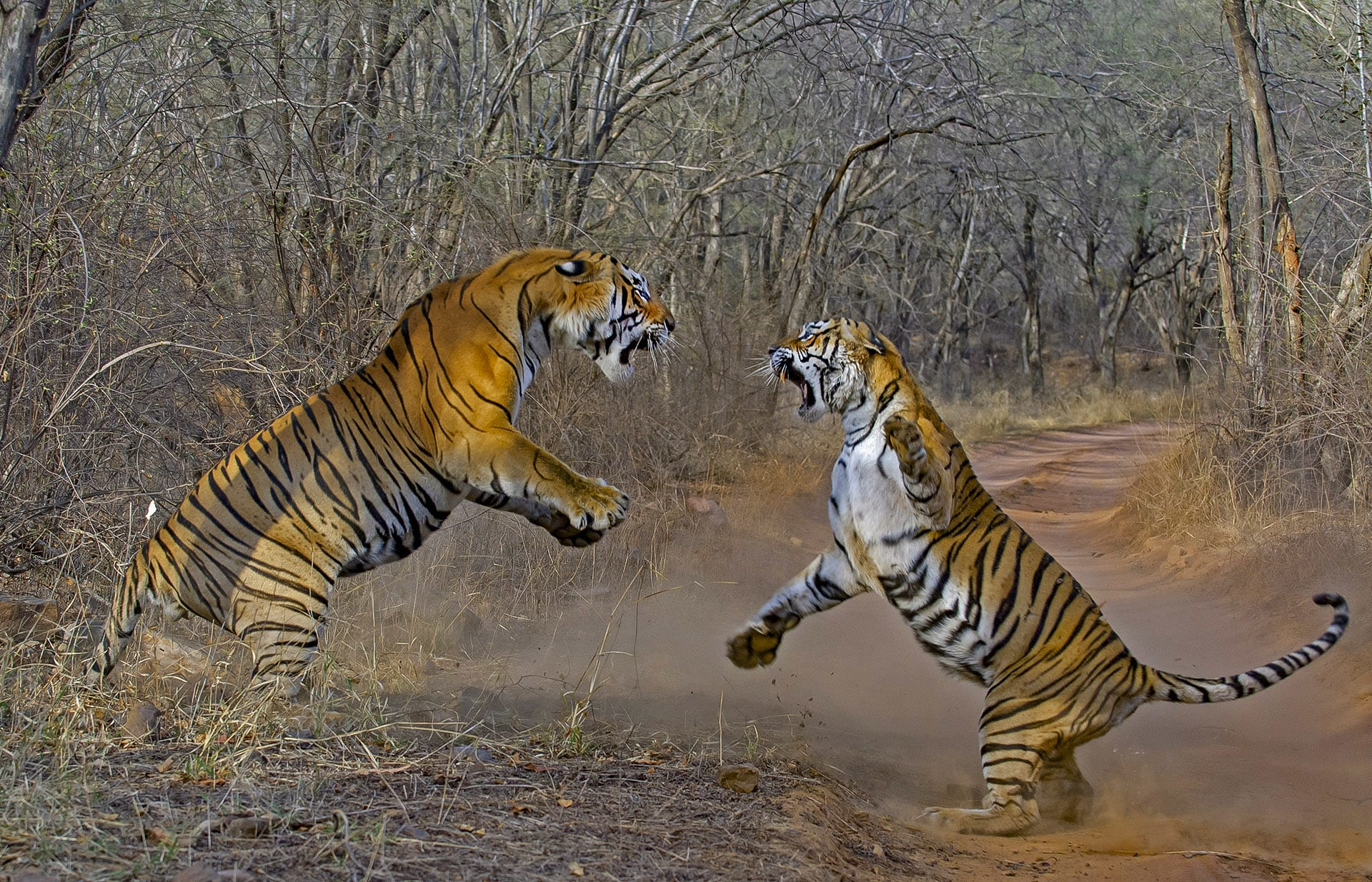 "There are two ways that sub-adults create their territory: By challenging existing tigers in the area or finding a vacant area in the forest that is unclaimed. ""More commonly, tigers undergo a lot of challenges and even a few battles before they are able to establish their own territories. Many may get killed in the process."""