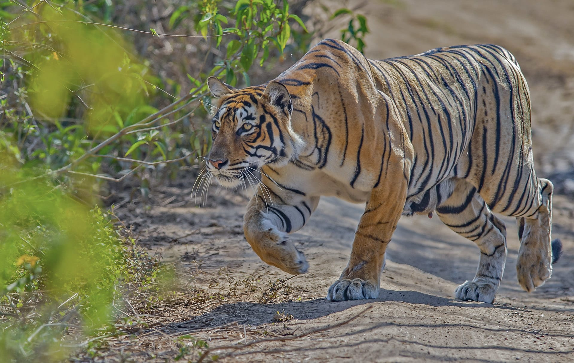 "Tigers, like many large mammals, are believed to have a mental map of their territories. ""For example, when a tiger misses killing its prey in a particular location, it will often immediately venture out to the next known location, where prey is abundant,"" says Chatterjee.  This is part of why scientists find tigers so fascinating: How do they decide the extent of their territory, and more significantly, how do they communicate this to other individuals in the habitat?"