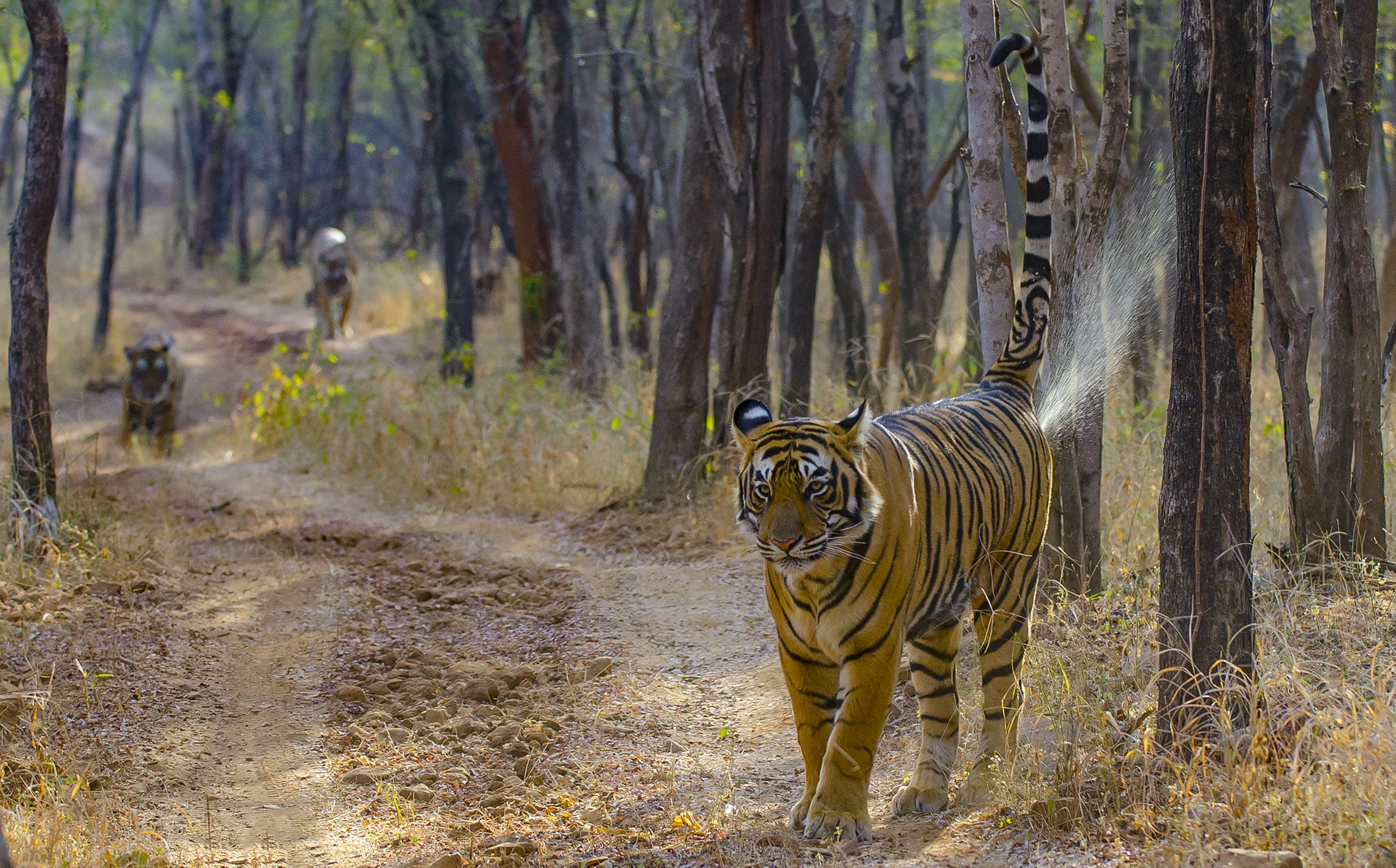 "Tigers inform each other of their whereabouts through complex scent markings that contain pheromones. ""They do this by spraying on trees, or any relevant spot during their regular movement through their territory,"" says Chatterjee. ""Tiger scat (poo) or scrapes (with their hind feet) also leave behind scent residues, which may function as cues to the tigers' presence."" The big cats also have a variety of calls, although we have little understanding of what these calls mean, and the messages they convey."