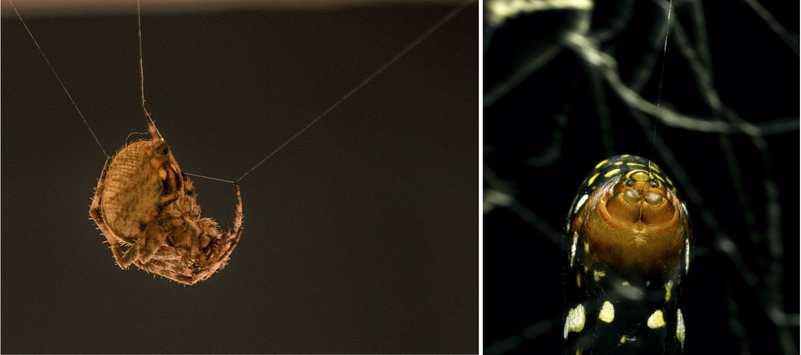 (Left) A garden orb-weaver is busy at work setting up the basic framework for her web in a kitchen. Many orb-weavers consume their webs and rebuild them each night. (Right) The golden orb-weaver has five silk-producing glands. Photos: Samuel John