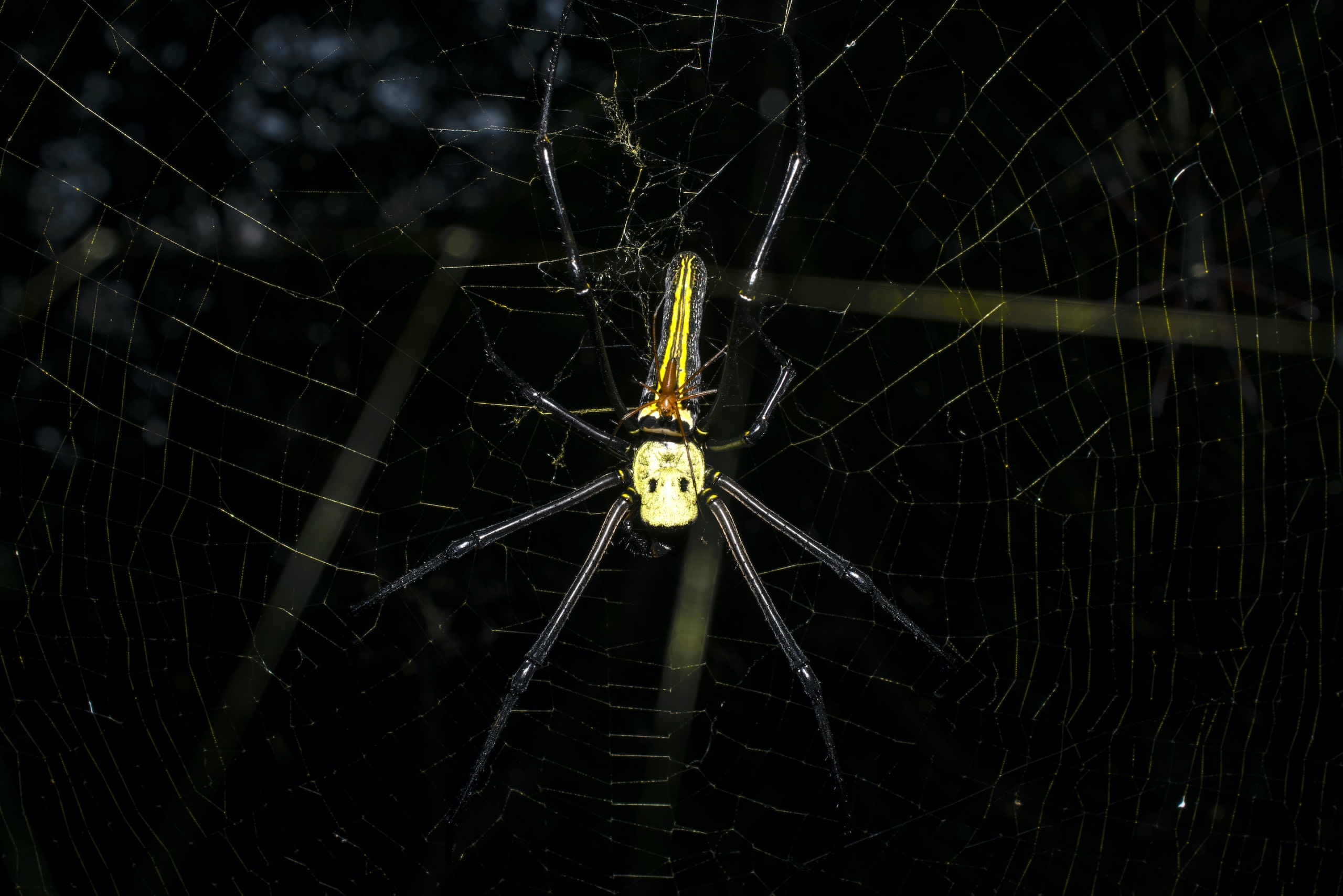 The fine sticky filaments of the web are interspersed with tiny droplets of glue and toxins. Photo: Samuel John  Cover: The web of the golden orb-weaver is durable enough to trap small birds. Cover photo: Samuel John
