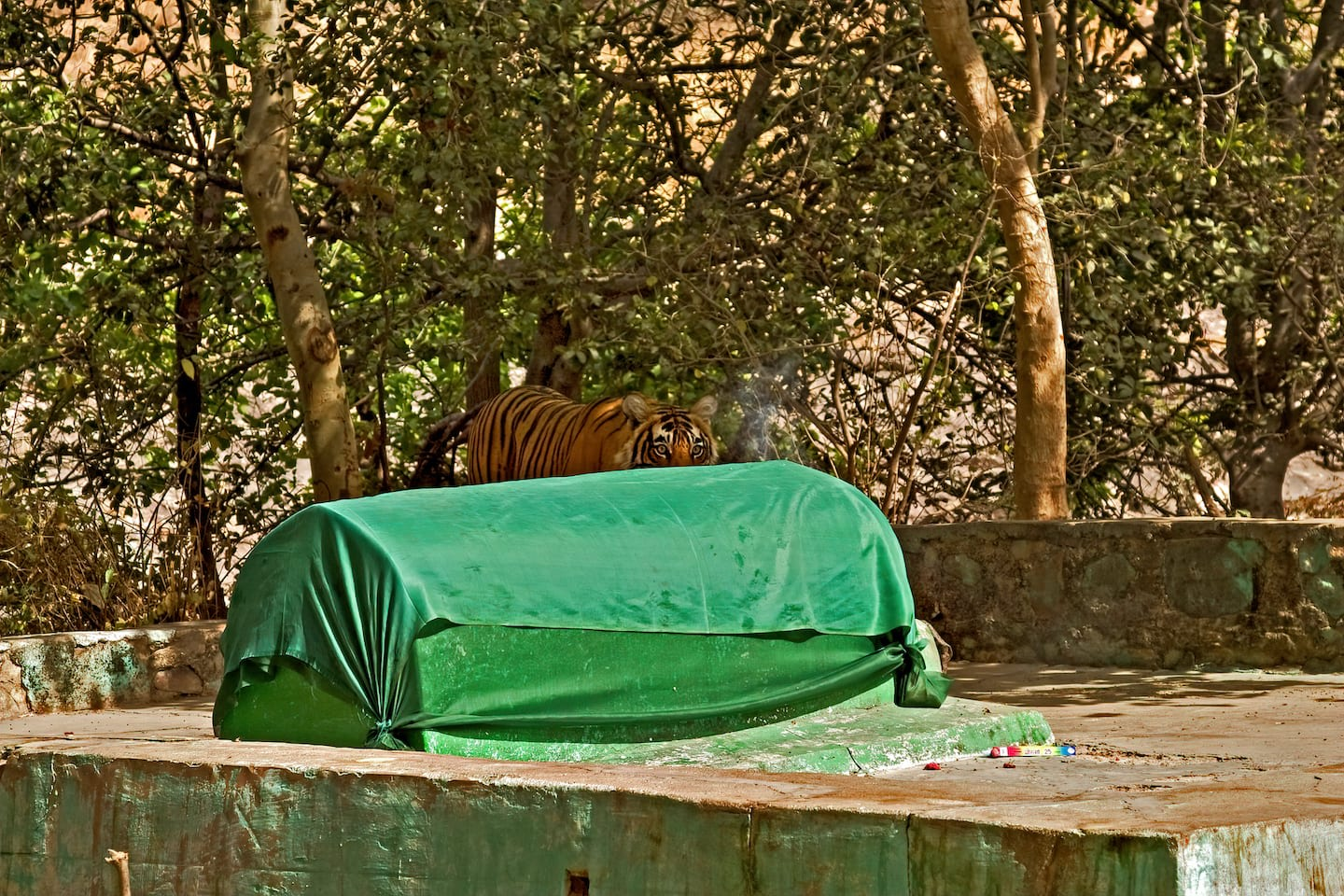 There is a grave of a Sufi saint by the side of the road to the Ranthambore fort and it is known as baba ki mazhaar. It is revered by a small groups of locals. There is a very pretty baori next to this grave with large trees all around, including a few of the species Litsea glutinosa or the Indian laurel tree — a rainforest tree in the semi-arid Ranthambore! The trees were recently identified by botanists Dr Satish Sharma and Dr Dharmendra Khandal. Its presence in Ranthambore is nothing short of a miracle.