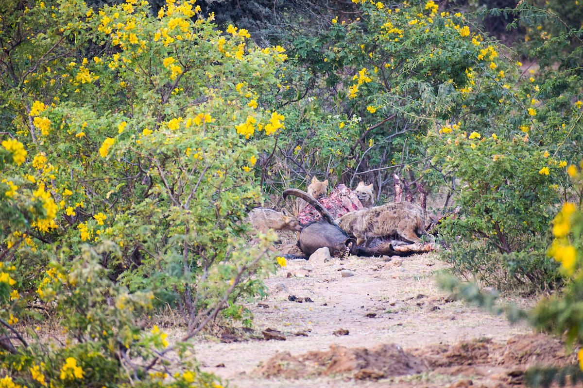 """Bishnoi has observed that golden jackals (Canis aureus) are usually among the last scavengers to arrive at a carcass in Kumbhalgarh. Leopards and hyenas usually arrive before them and make the task of tearing the tough hide of large animals easier for these opportunistic canids. """"These four jackals arrived at the scene in the morning after the leopard and hyena had consumed their share,"""" says Bishnoi. Jackals are frequently encountered at dusk around the villages on the outskirts of the sanctuary."""