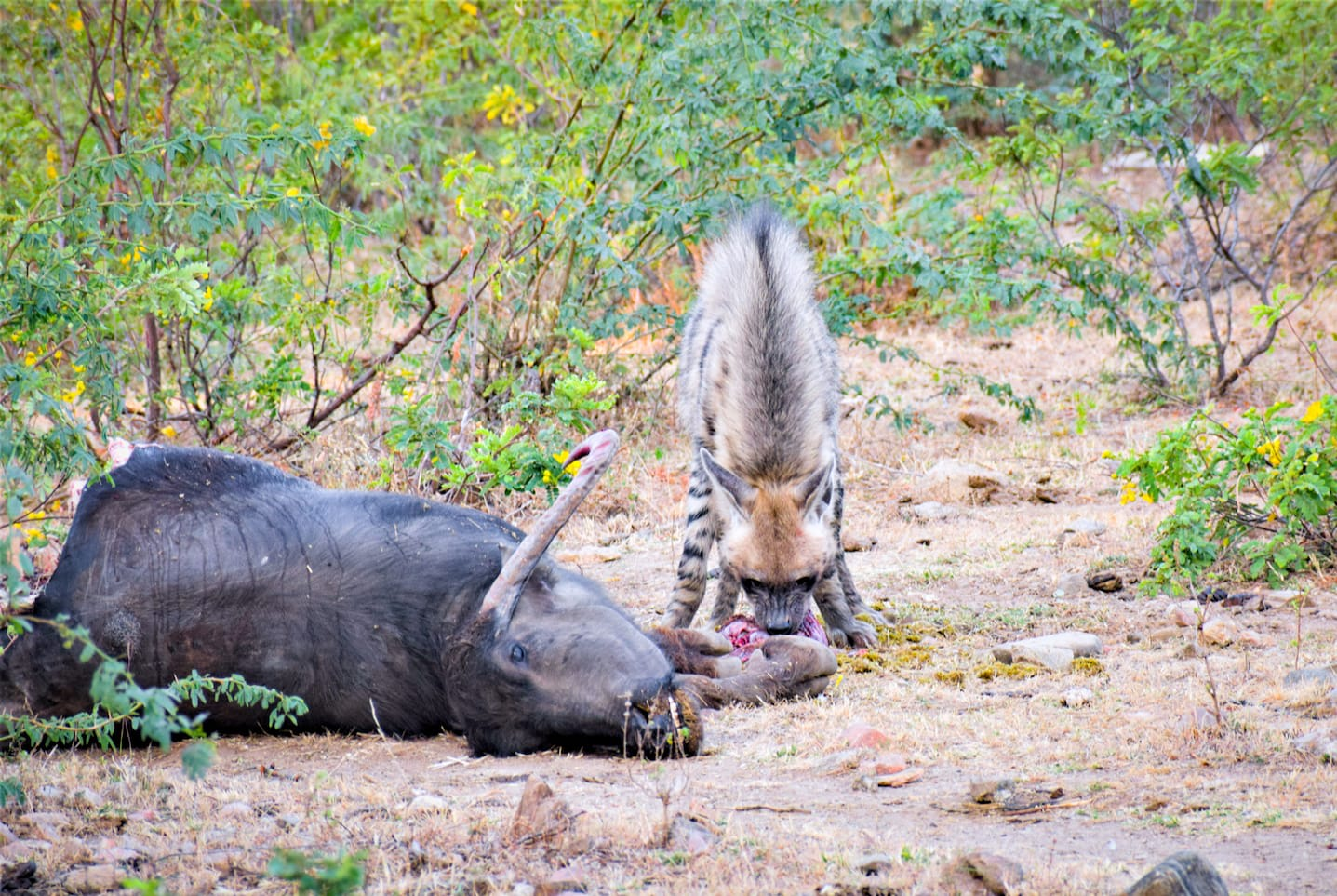 """""""A leopard was the first to arrive at this buffet, followed by this female striped hyena (Hyaena hyaena). After the hyena had her fill she left and came back to the carcass three or four times, taking with her a morsel each time. She was probably transporting food to her cubs,"""" says Bishnoi, who was surprised to see the scavenger on the carcass well into the morning.  Primarily nocturnal, the striped hyena normally leaves its den only under the cover of darkness and returns to it before sunrise. Kumbhalgarh is estimated to have around 141 hyenas."""