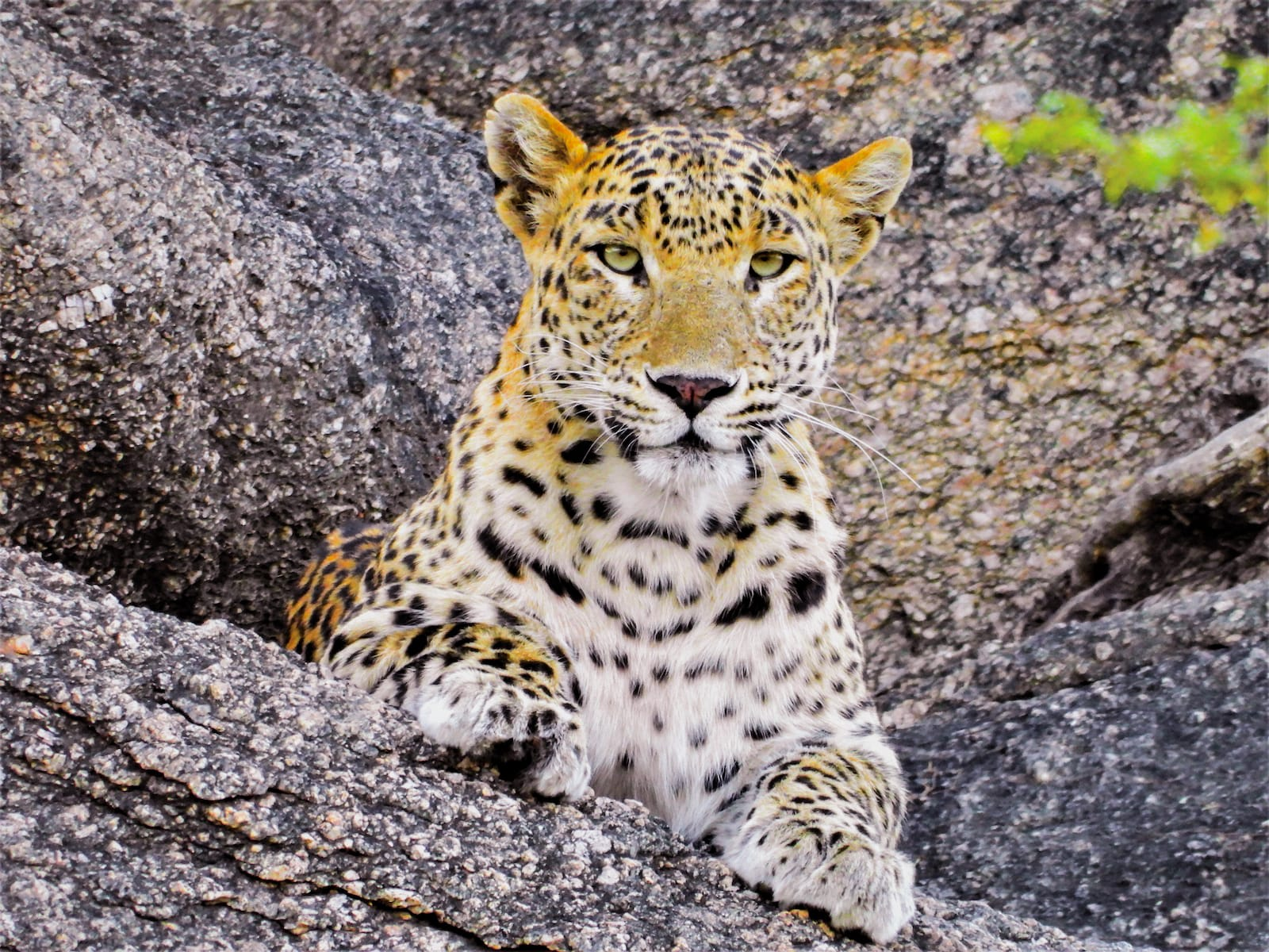 """Named Noor by locals, this leopardess is Bishnoi's muse. Frequently moving in and out of the sanctuary, she is used to his presence, and allows him to photograph her, sometimes even when she is feeding on a kill. """"I occasionally find her lounging about on this rocky outcrop just outside the sanctuary,"""" says Bishnoi."""