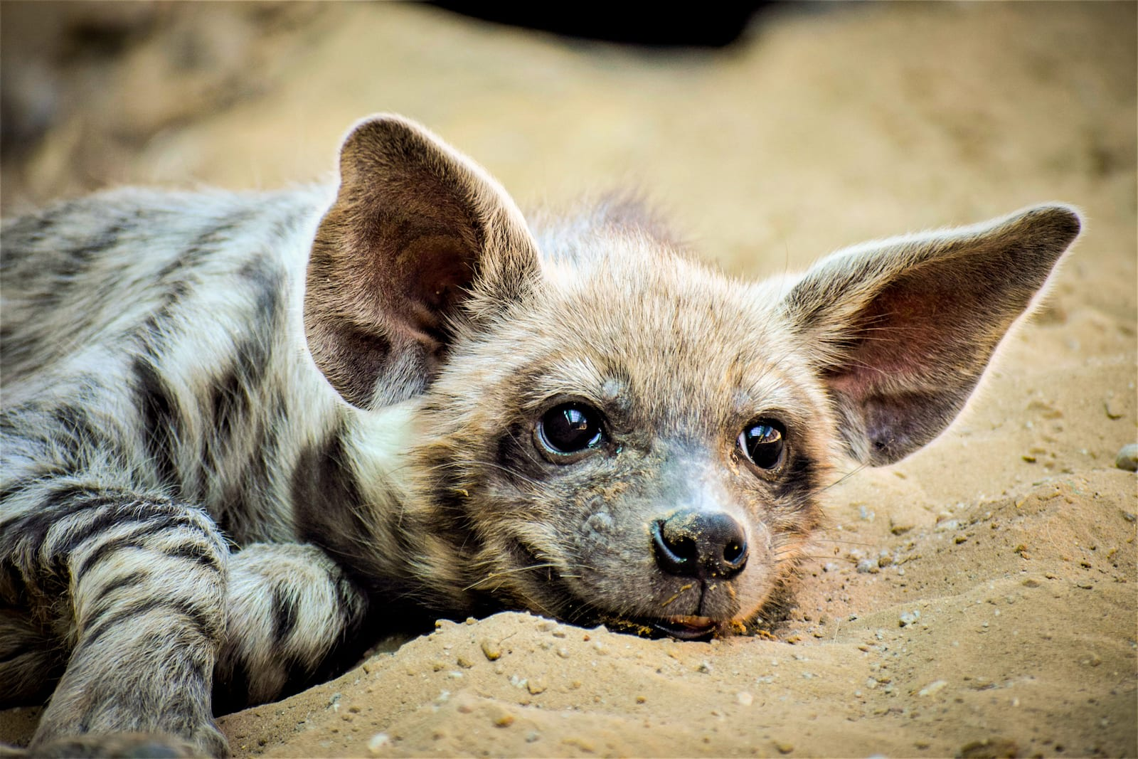 """A striped hyena litter typically comprises two to four cubs, who begin to venture out of their den when they're around one month old. This cub seems lost in deep happy thoughts outside its den. It was one of two that Bishnoi had the pleasure of observing. """"I use a zoom lens and stay absolutely still while photographing hyenas or jackals to ensure that I do not spook them,"""" he says."""