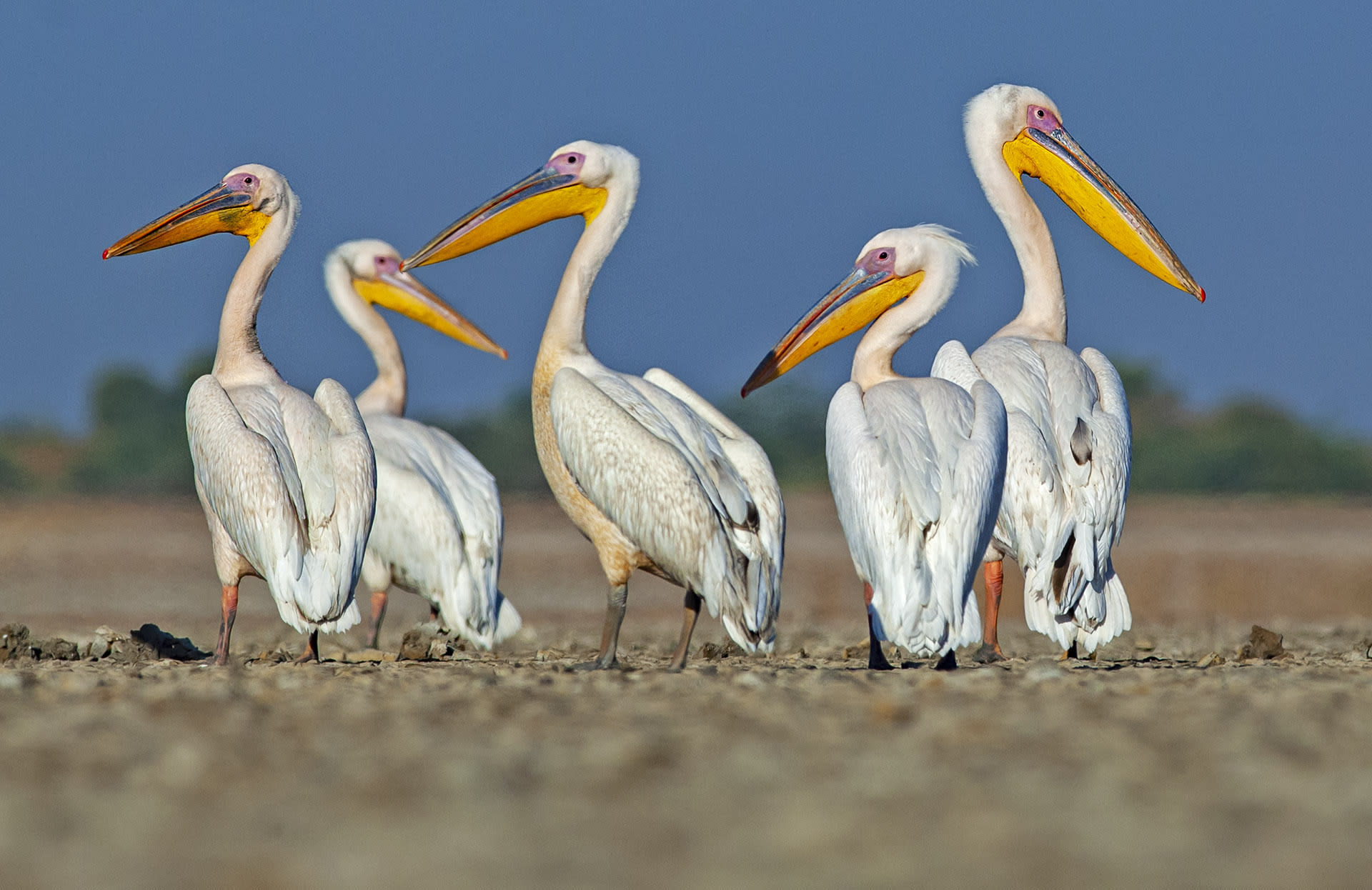 Pelicans in Little Rann of Kutch. Photo: Dhritiman Mukherjee  Cover photo: The iconic Asiatic wild ass or khur which is the flair of the landscape. Cover photo: Dhritiman Mukherjee