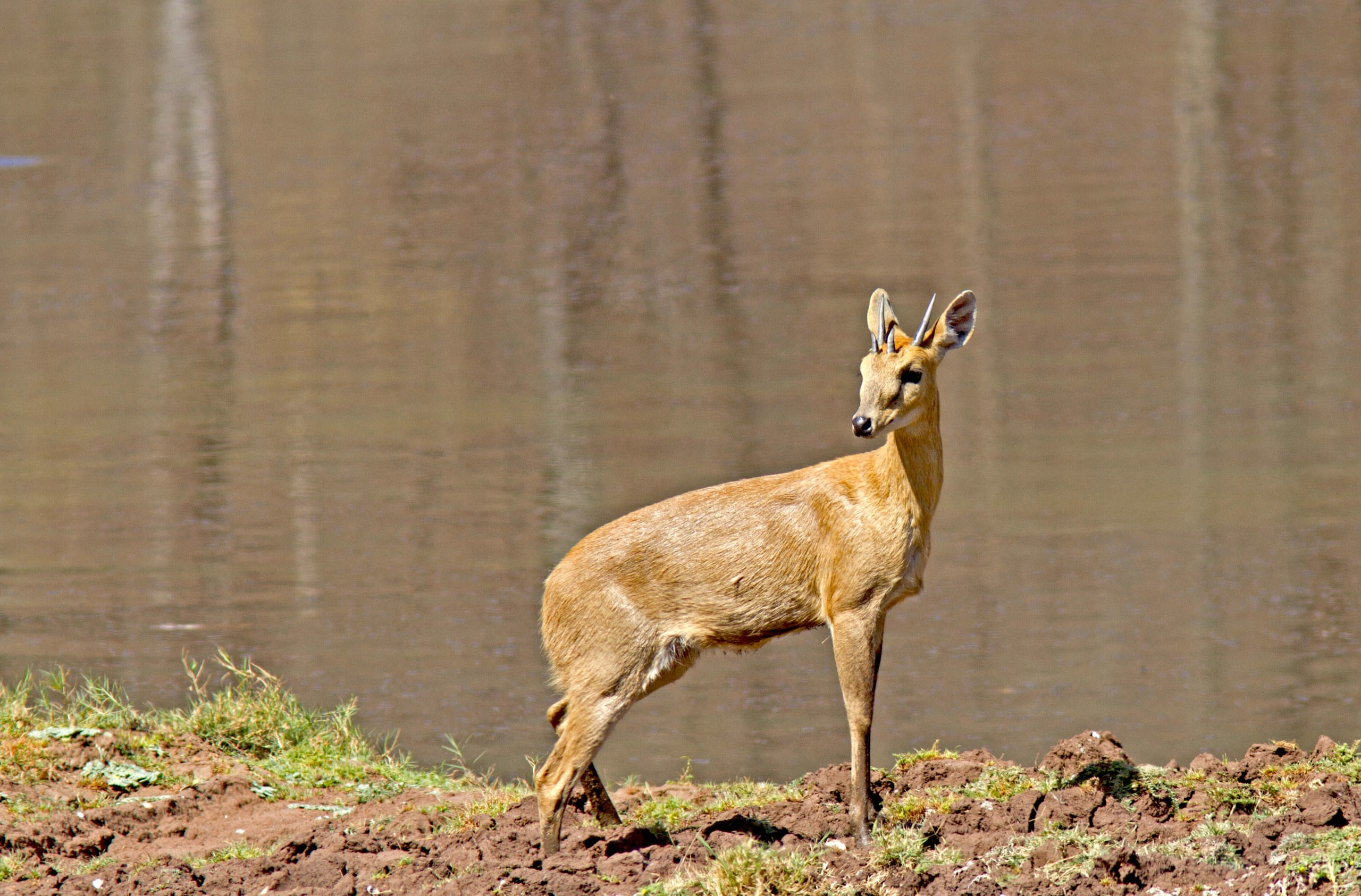 "The chousingha has a slender body and yellowish-brown to reddish coat and a short tail. It prefers areas of dense undergrowth where it can hide when it feels threatened. Photo: Ashwin HP  Cover Photo: The four-horned antelope is endemic to the Indian subcontinent. Once common throughout the deciduous forests of Central India, it is now considered ""Vulnerable"" on the IUCN Red List. Cover Photo: Phalgun Patel"