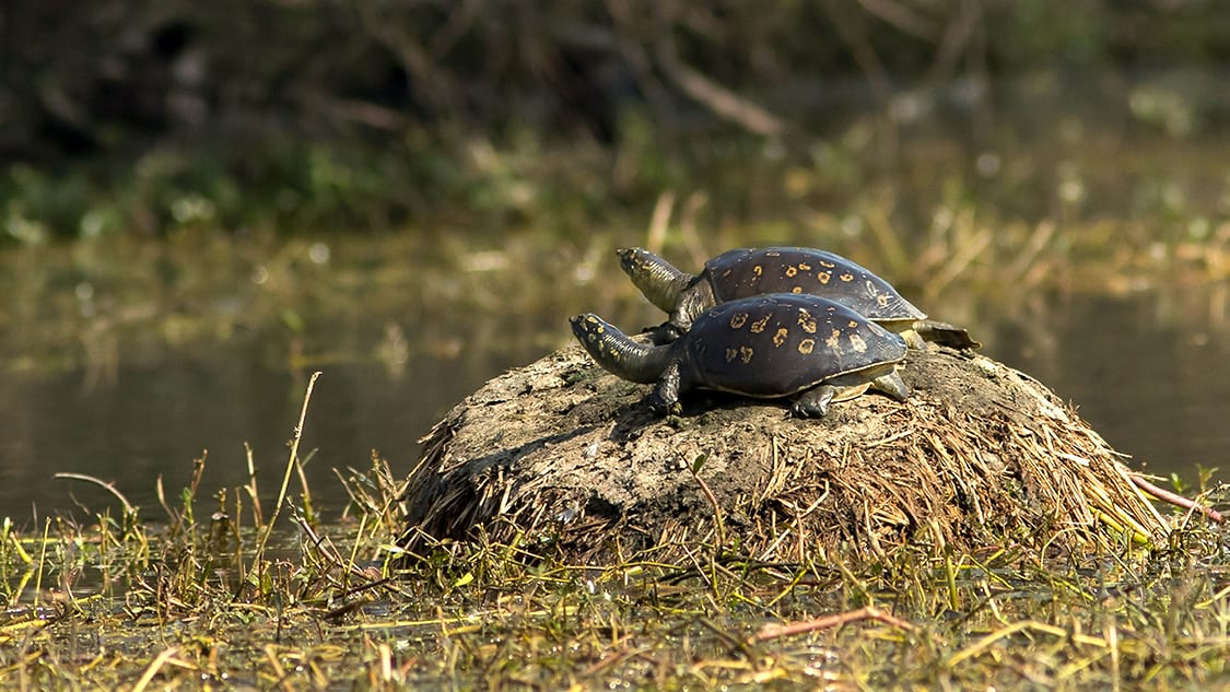 The Indian flapshell turtle's brown colouration with some spots and relatively small size make it inconspicuous when basking along slow-moving rivers. Photo: CLpramod, CC BY-SA 4  Cover photo: Measuring up to 35 cm, the common flapshell turtle has short, tubular nostrils, which are almost pig-like. Cover photo: Rahul Kulkarni