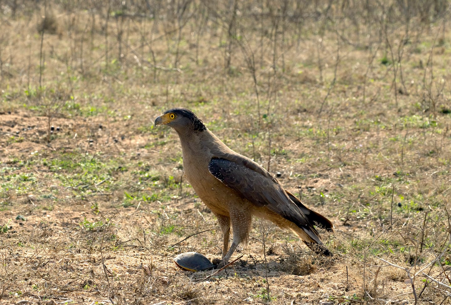 Raptors, such as this crested serpent eagle in Pench Tiger Reserve, prey on flapshell turtles. However, it is humans who are the bigger threat to their survival today. Photo: Tushar Abhyankar