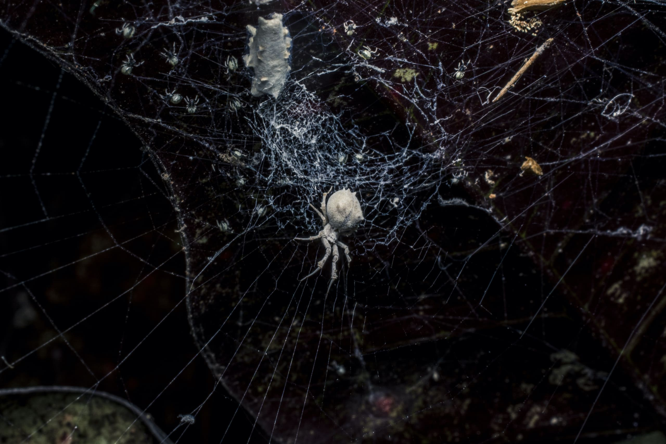 A Uloborid sits still on her cribellate web as a new batch of hatchlings explore their mother's orb web. Photo: Samuel John  Cover photo: An Argiope sits on an intricately designed stabilimentum on its web. Stabilimentum are decorative silk structures built by some spiders like the Argiope. Photo: Samuel John