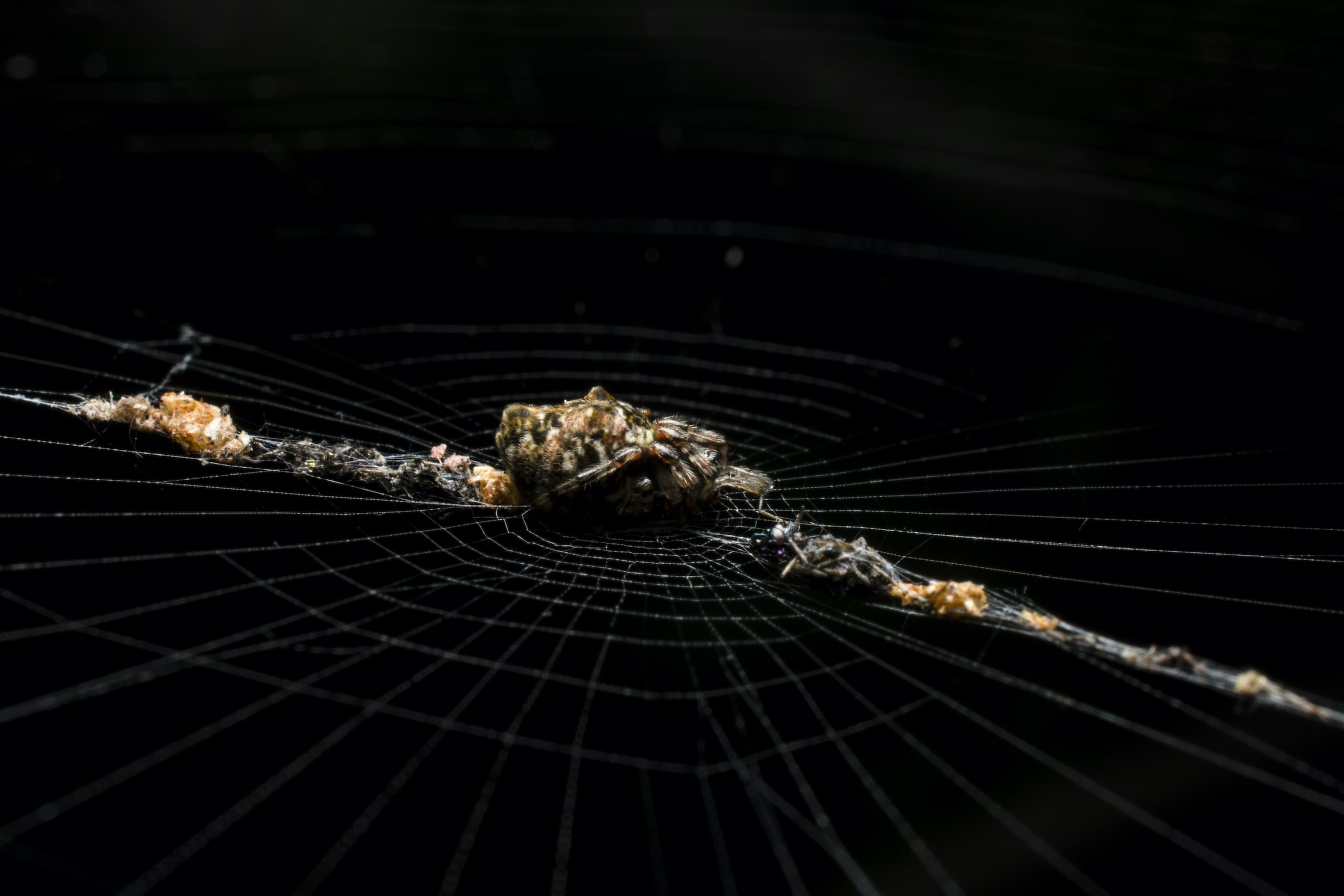 A debris orb-weaver sits in the middle of a line of decorations she has laid out on her web. The decorations consist mainly of leftovers from previous meals. Photo: Samuel John