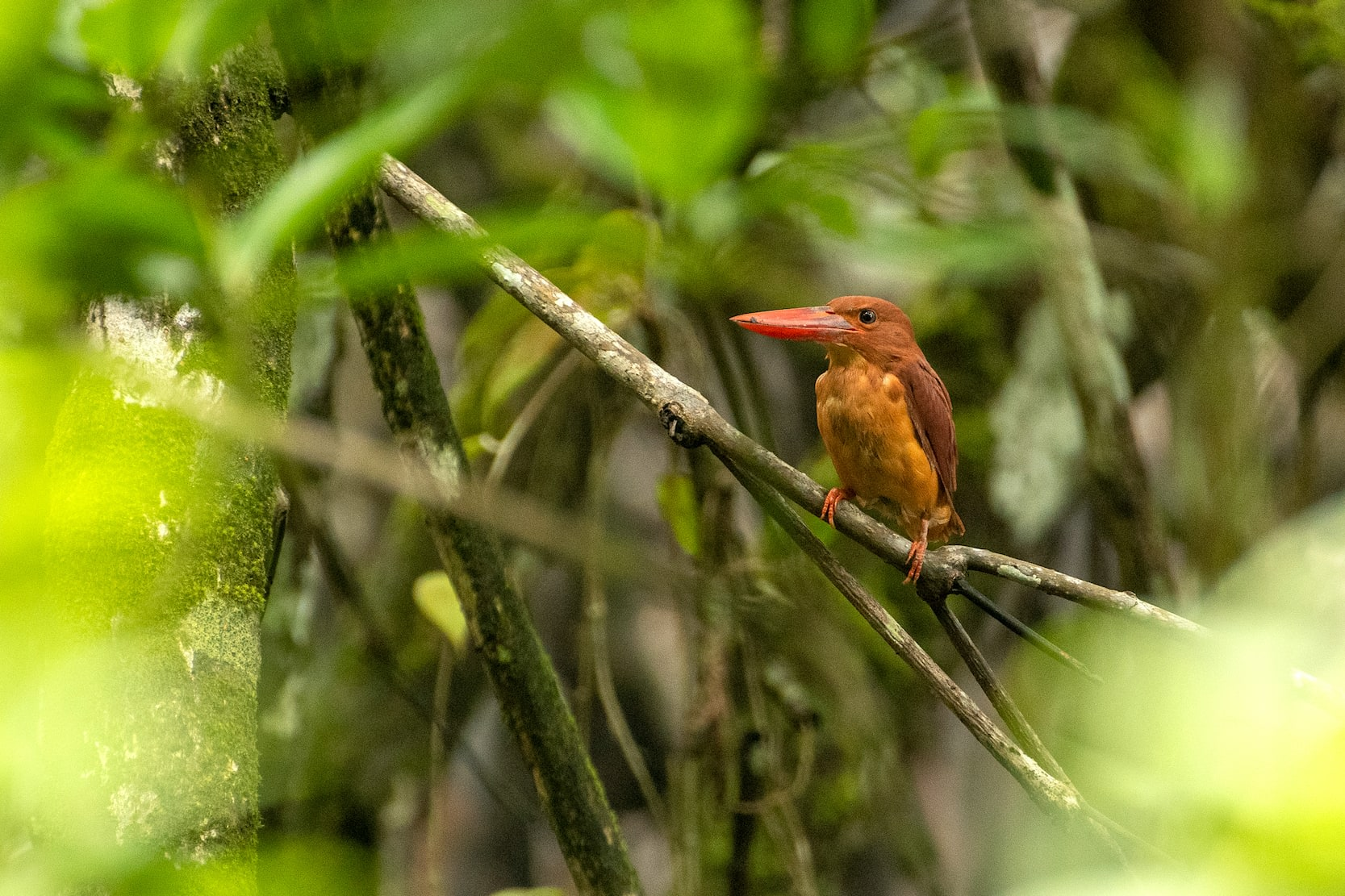 The ruddy kingfisher (Halcyon coromanda) is also a mangrove and forest-dwelling species found in Northeastern India and the Himalayas. Characterised by varying shades of brown and a typical red bill, these tree kingfishers supplement their diet of fish and crustaceans with frogs and insects. Photo: Saurabh Sawant