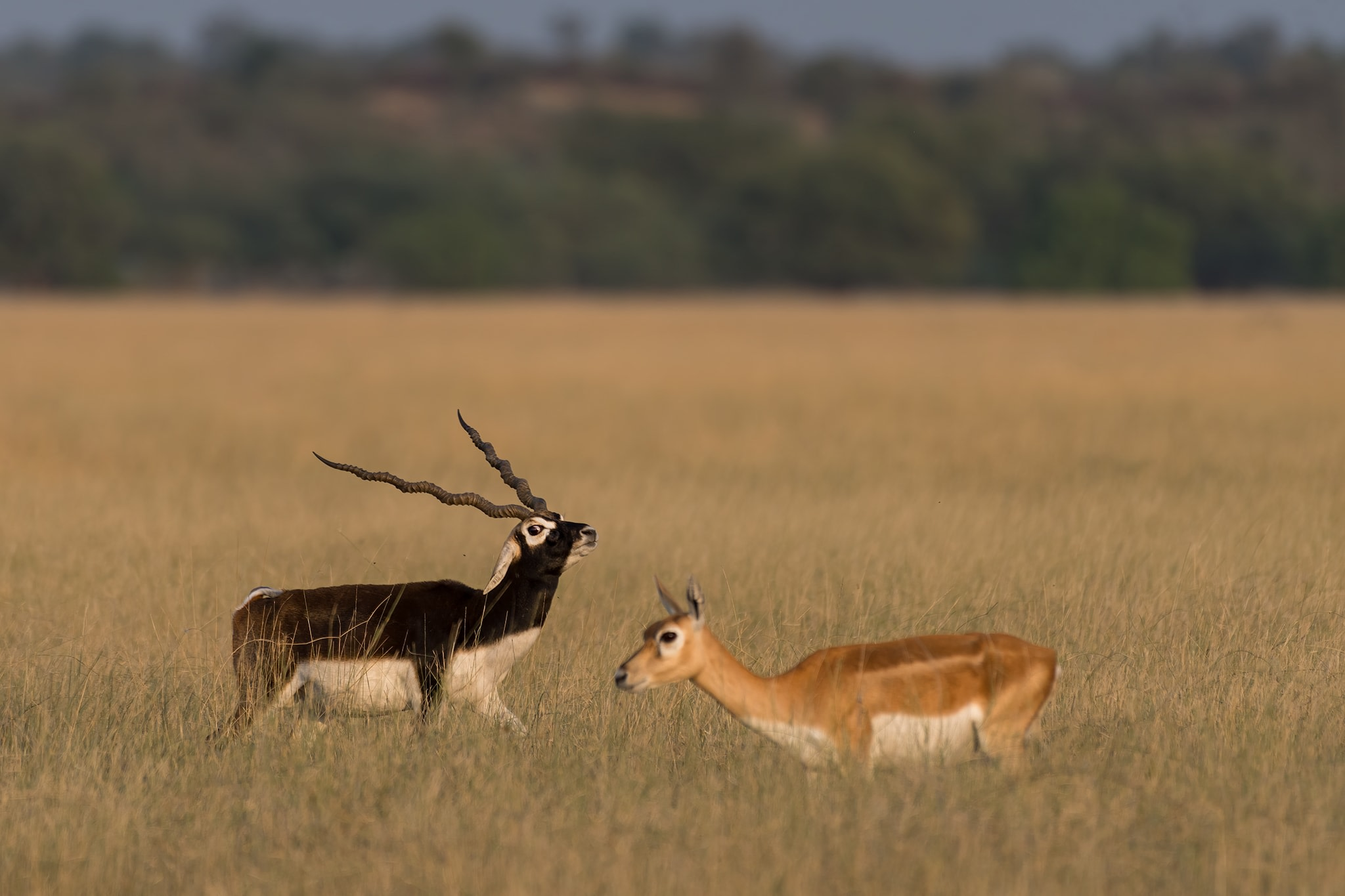 Blackbucks establish territories with plentiful grass and water right in the paths of hungry does, since the way to females' hearts is through their stomachs.