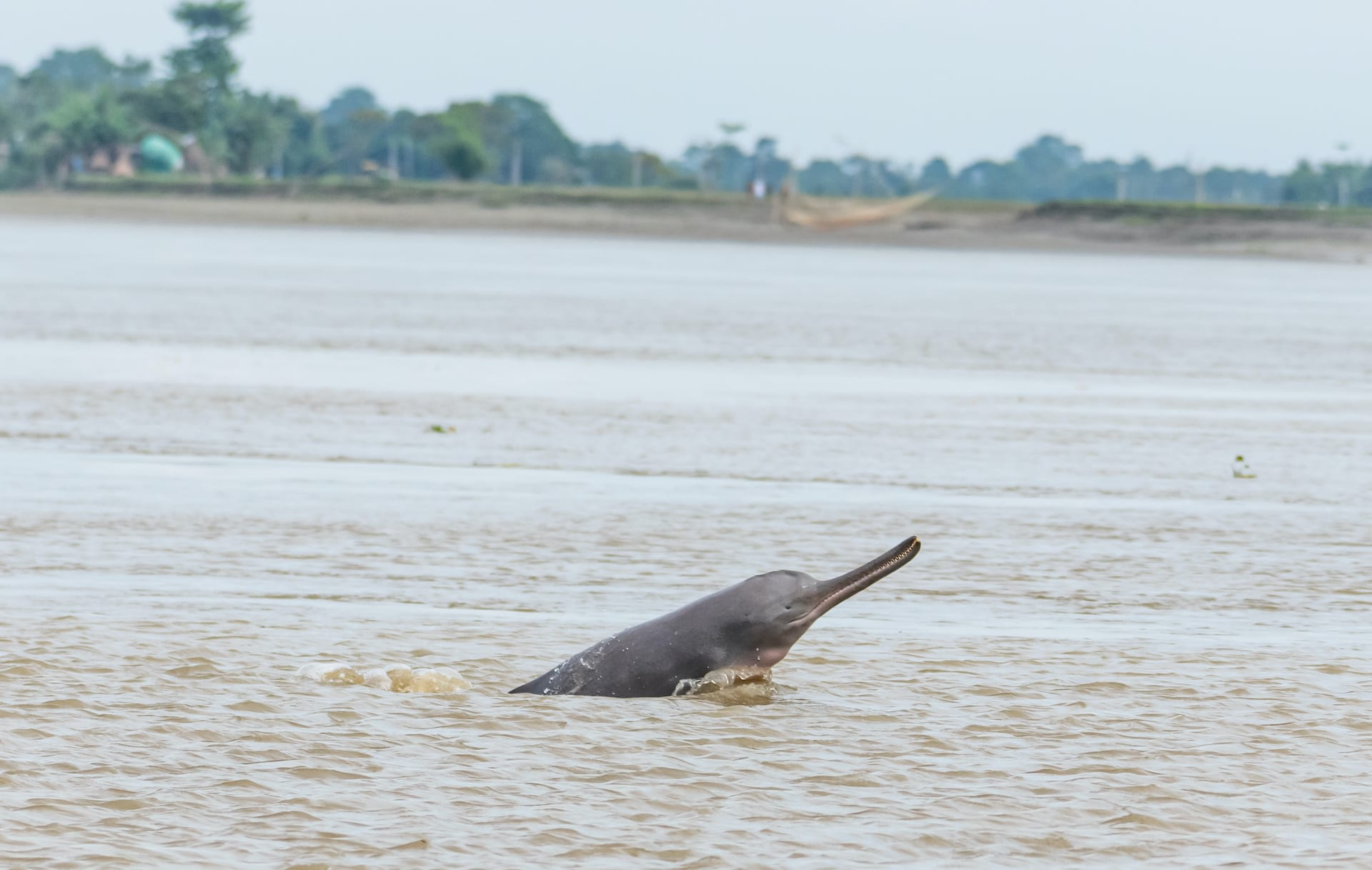India's national aquatic animal, the river dolphin grows up to 2 to 2.5 metres in length. Its elongated snout can reach lengths of 20 per cent of its total body. Photo: Lakshi Nanda Majumdar  A South Asian river dolphin surfaces to breathe in the Brahmaputra river in Mayong village in Assam. In India, the dolphins are mainly found in the Ganga and Brahmaputra river systems. Photo: Lakshi Nanda Majumdar