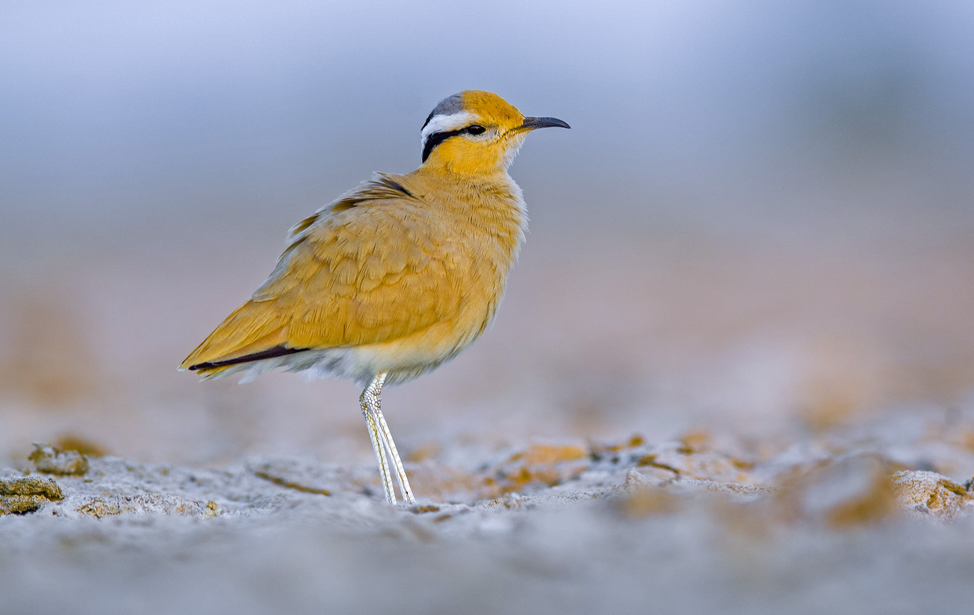 "The cream-coloured courser is found across North Africa, the whole of Middle East, Iran, Pakistan, and western India. ""In India, it is mainly seen in winter,"" says Dr Asad Rahmani, wildlife author, conservationist, and the former director of Bombay Natural History Society. ""I have records of young ones in Jaisalmer district. They are the bird of fallow fields, grazing land, dry waterbodies, and arid zones."" It is likely the birds come to India from Iran and Middle East but no study has been done on their movement so one cannot be sure, says Dr Rahmani."