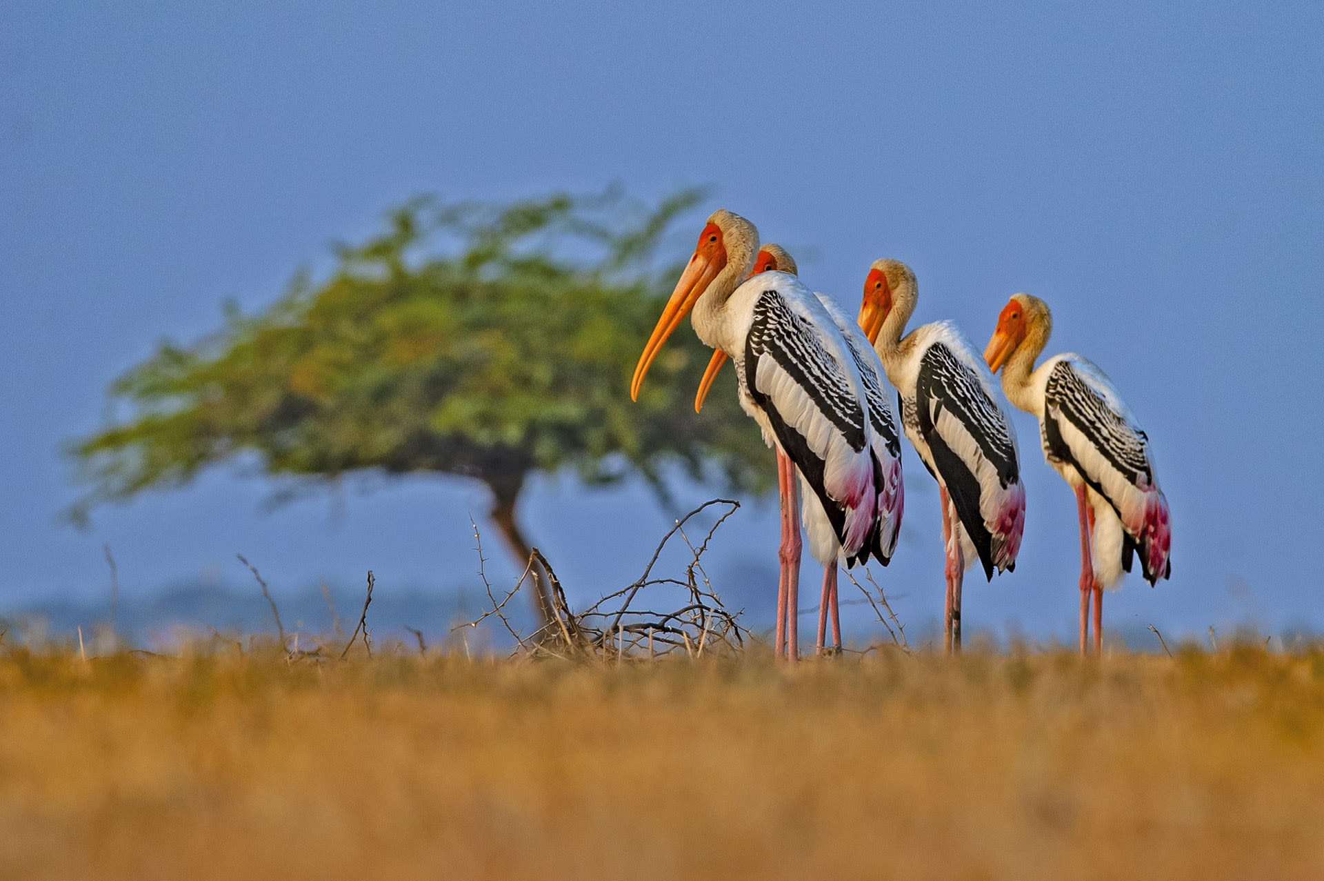 "Among these winter visitors is the painted stork (Mycteria leucocephala), a large, water-loving species that is ""often seen near water bodies such as wetlands, marshes, and flooded agricultural fields,"" says eBird. Painted storks are local migrants, meaning they fly to the Little Rann of Kutch from other parts of Gujarat and western India. The wetlands also host populations of demoiselle cranes, flamingos, and pelicans. According to Kolkata Birds, ""Over 200 bird species have been recorded in the area."""