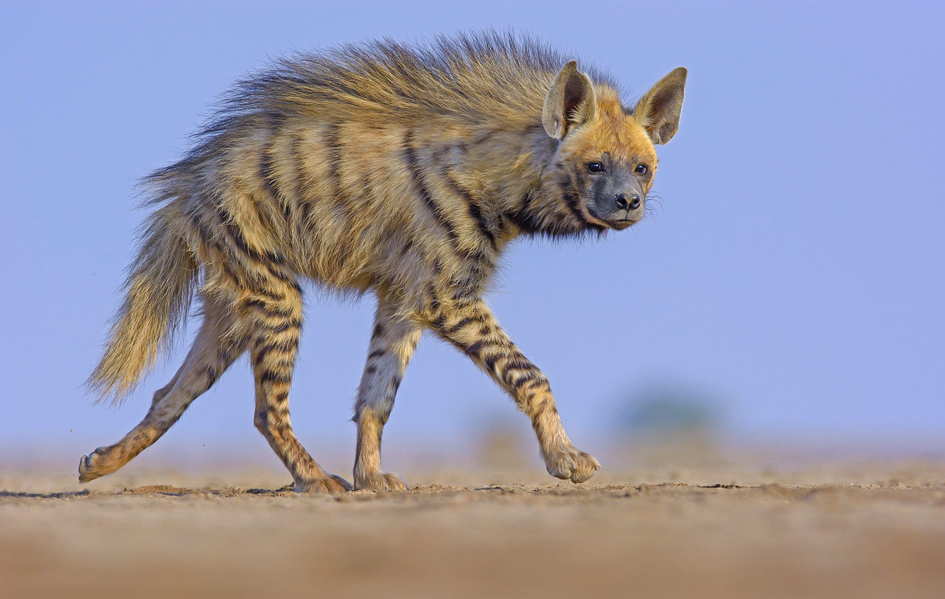 "Unlike the desert fox, the striped hyena relies largely on scavenged meat to survive. These skulking predators are vilified by many cultures but are an integral part of this habitat. They play the role of waste managers, thereby reducing the chance of disease that breeds in decomposing meat. Of late, these animals too have been suffering at the hands of free-ranging dogs, that monopolise carcasses of livestock dumped on the fringes of village areas. Striped hyenas are classified as ""near threatened"" by the IUCN."