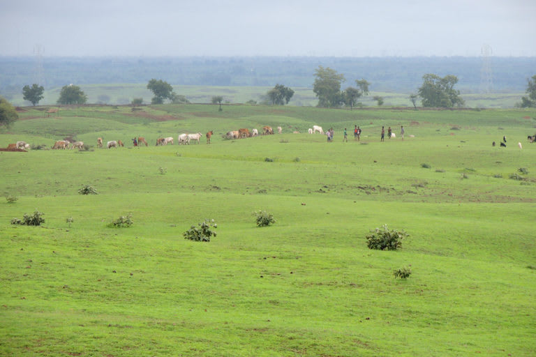The lesser florican's habitat, a grassland, in the Dhar district of Madhya Pradesh. The habitat is under threat due to overgrazing. Photo: Dilsher Khan.