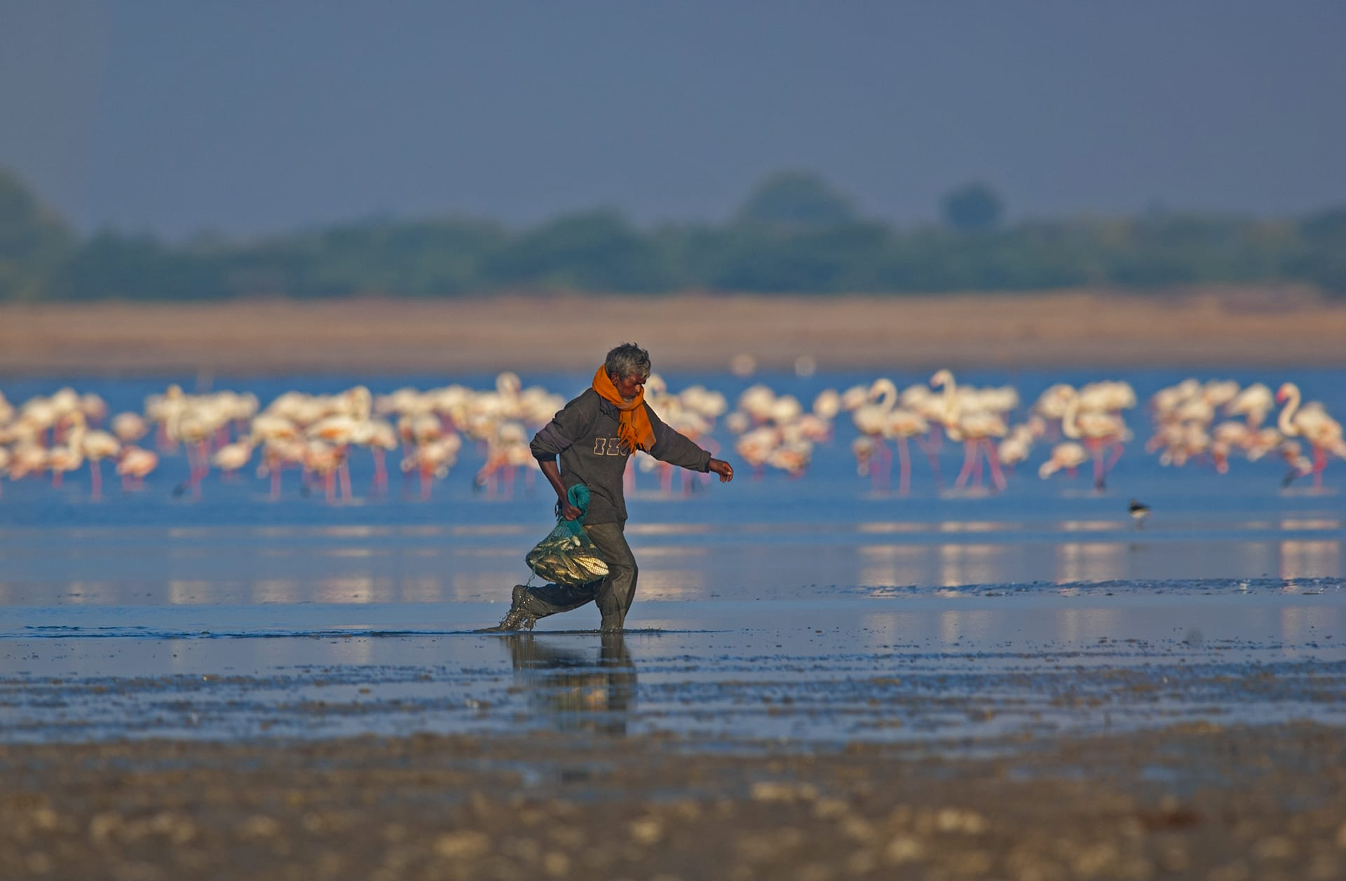"""Flamingos are powerful birds, capable of long migratory journeys and survival in caustic landscapes like the Rann, but they are also vulnerable to anthropogenic factors.  The pumping of the salt mines, for instance, often interrupts their breeding cycle. """"My suggestion was to give the local community some monetary compensation, and request them to start salt panning about a month later, after the birds have completed their breeding cycle."""" Sometimes, fisherfolk take their dogs on fishing trips, """"and I have seen the dogs jump out of the boat and attack nests,"""" says Shah. """"Even though there is hardly any direct interaction between humans and the birds, they are still impacted."""""""