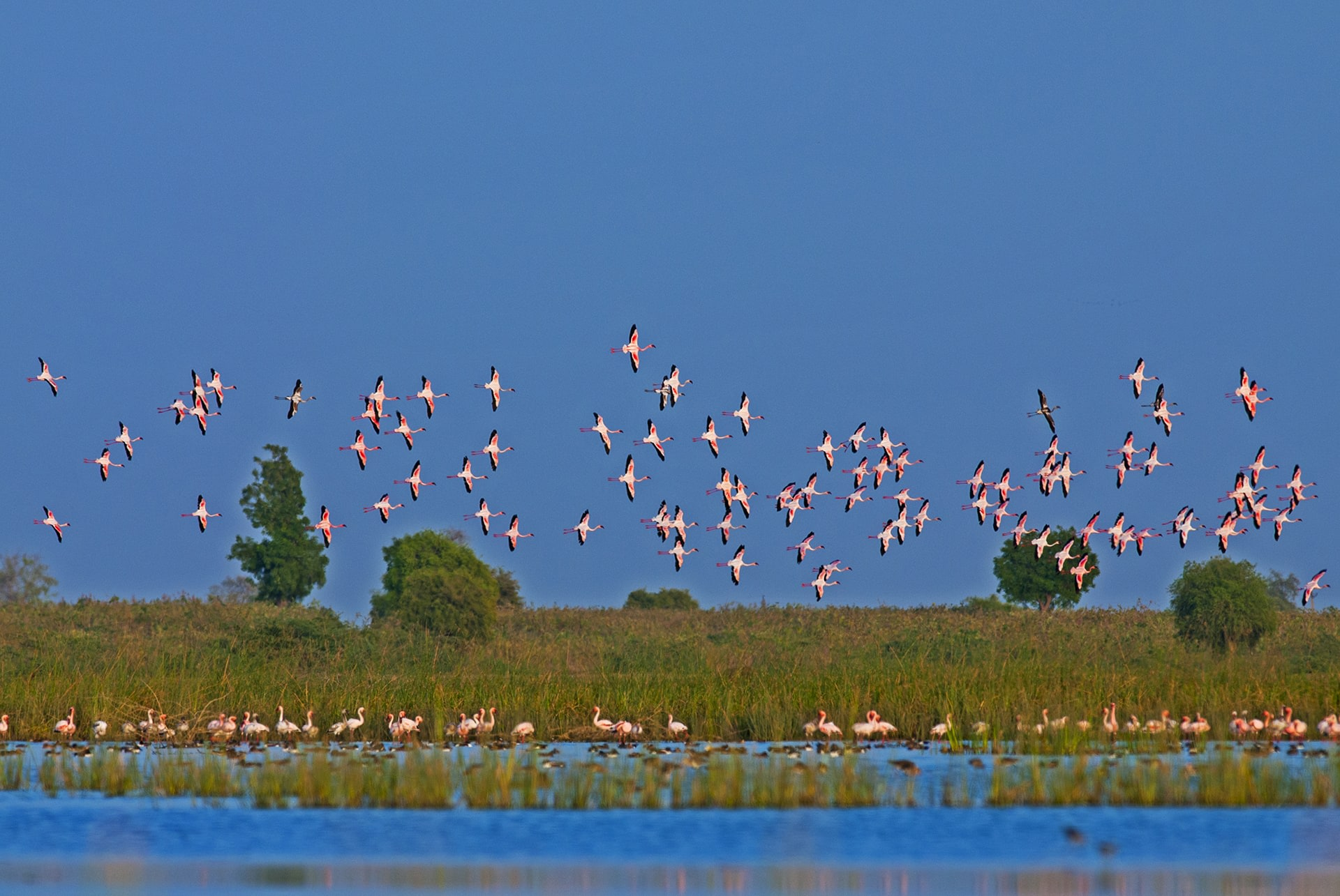 """The birds arrive in the Little Rann around mid-June. """"The first rain is an indicator for adult flamingos to move towards their nesting grounds in the Rann,"""" says Shah. """"The wetlands, about 40-100 km away, which are their foraging grounds, start to empty at this time."""" Inundation is important to the flamingos as it ensures food, but also because it provides these ground-nesting birds materials for nests and safety from ground predators."""