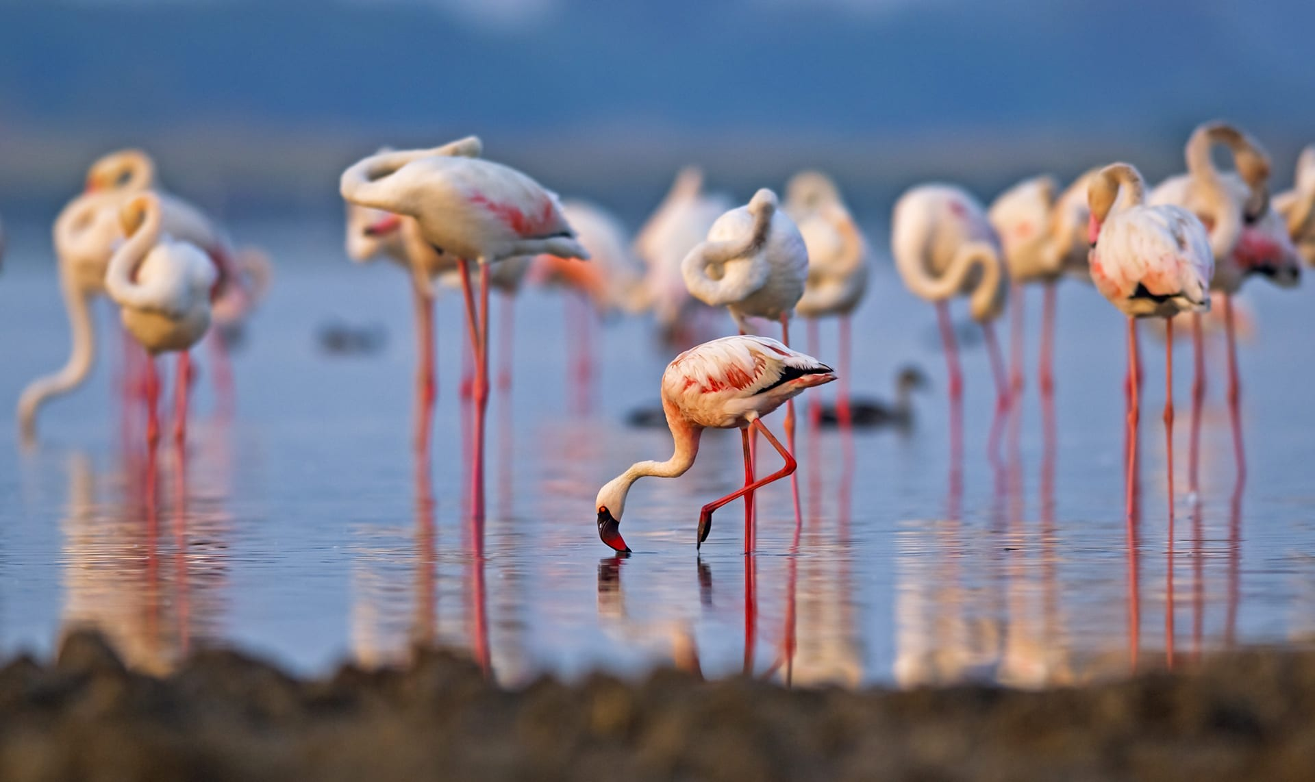 """Physiologically, flamingos are primed for this landscape. Like many wader species, they have long legs and webbed feet to grip the muddy soil without losing balance. """"My fingers would probably get desiccated in about ten minutes with the high degree of salinity in the water,"""" says Shah. """"but their webbing is unharmed because they are designed for this brined landscape. They might look delicate, but make no mistake, they are incredibly strong."""""""