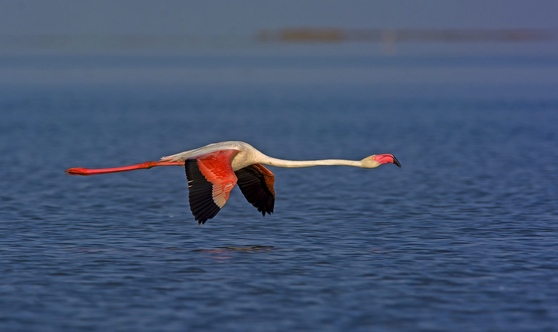"""There are six species of flamingos on Earth, of which the greater and lesser flamingos are found on the Indian subcontinent. The greater flamingo (Phoenicopterus roseus), pictured here, has a pink beak with a brownish-black tip, and is the largest of flamingo species. The lesser flamingo (Phoeniconaias minor) has a brownish-crimson beak (in adults) and is the smallest of the species. The Great and Little Rann of Kutch are the only known breeding sites in Asia where both species are found.  """"We have 5-6 nesting sites in the Little Rann,"""" says Nita Shah, a conservation ecologist who has been observing the species and this habitat for 34 years. """"Out of these, 3-4 sites are mixed colonies with greater and lesser flamingos, and about two or three are pure colonies, occupied by a single species."""""""