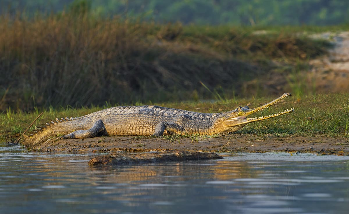 Much like tigers, gharials are considered keystone species that signify the health of their habitat. When gharial numbers start to drop, it is a signal that our riverine systems are under duress. So, in a sense, saving the gharial is as much about our own survival as a species, for without fresh water, the future of humanity seems just as unlikely. Photo: Dhritiman Mukherjee