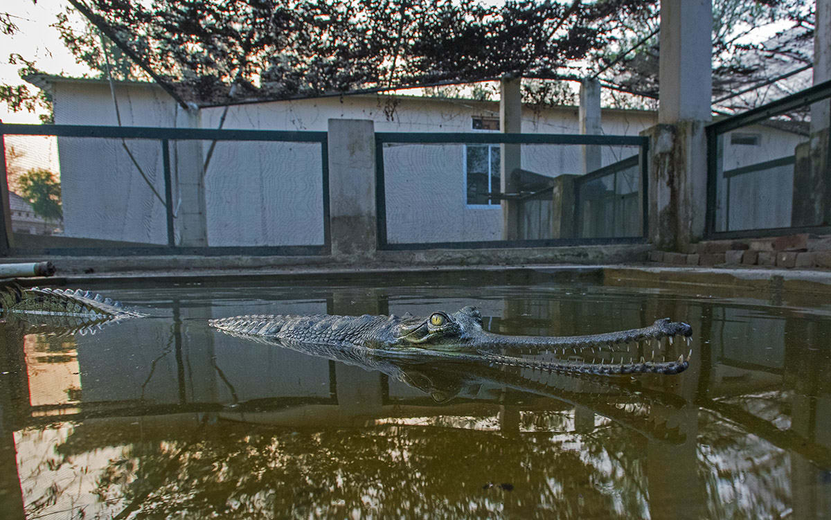In May 2020, 40 tagged juveniles were released in the Ghaghara River, from the Kukrail Gharial Rehabilitation Centre in Lucknow. An article by Down to Earth magazine estimates that about 250 gharials have been released in the Ghaghara since 2014, but survival rates are hard to estimate. This image was taken at a breeding centre in Katarniaghat Wildlife Sanctuary, a part of Dudhwa Tiger Reserve, where gharials are bred for release in the Girwa River, which runs through the sanctuary. Some gharials have been released in other nearby rivers. Photo: Dhritiman Mukherjee