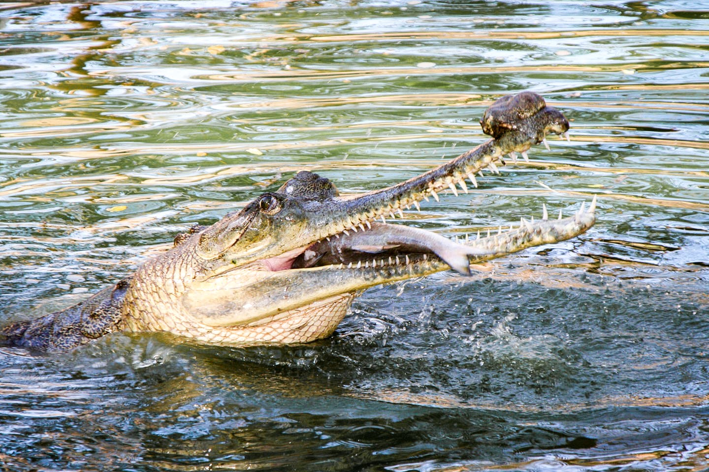 The first thing most humans notice about gharials are their teeth: spiky, razor-sharp, and too many to count. Unfortunately, this instantly plants fear in the minds of most people, even though gharials are mainly fish-eating reptiles. They use their teeth — over 100 in number — to catch slippery fish, which they consume in handsome quantities.  Like many crocodilians, gharials have three eyelids: upper, lower, and an additional third lid that protects the eyes when they dive underwater to catch prey. Photo: Romulus Whitaker