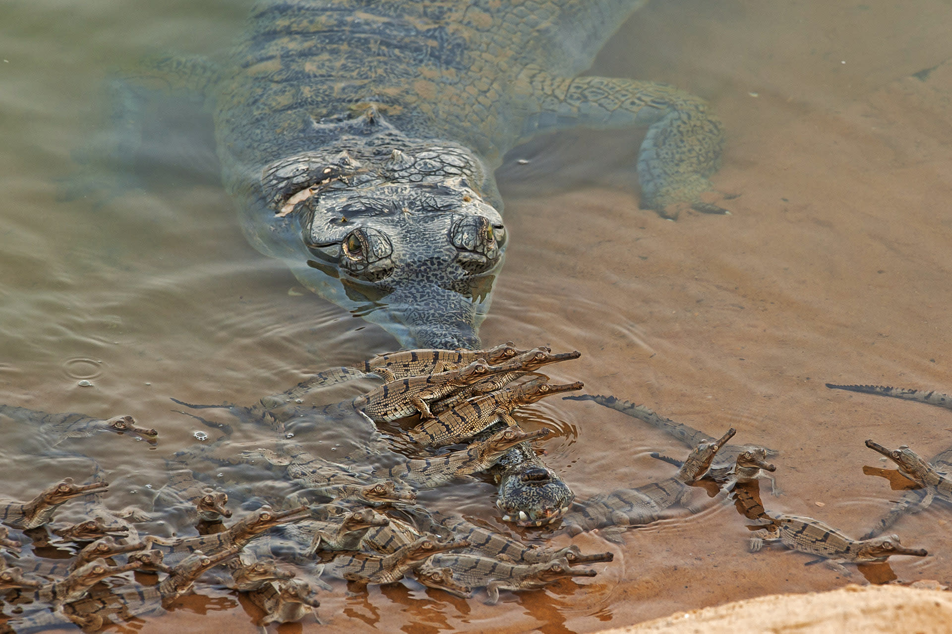 """Females watch over the nest, but once the young are born, males take over where protection is concerned. Around May-June, when the hatchlings have emerged, male gharials can be seen carrying hundreds of babies on their heads and snouts, so they can bask in the sun, and warm their bodies. Survival rate of gharial young is very low.  """"There is a significant change in their behaviour at this time,"""" says Mukherjee. """"During breeding season, they can be quite aggressive. Approach them, and they might attack, where otherwise they quietly slip into the water.""""  Photo: Dhritiman Mukherjee"""