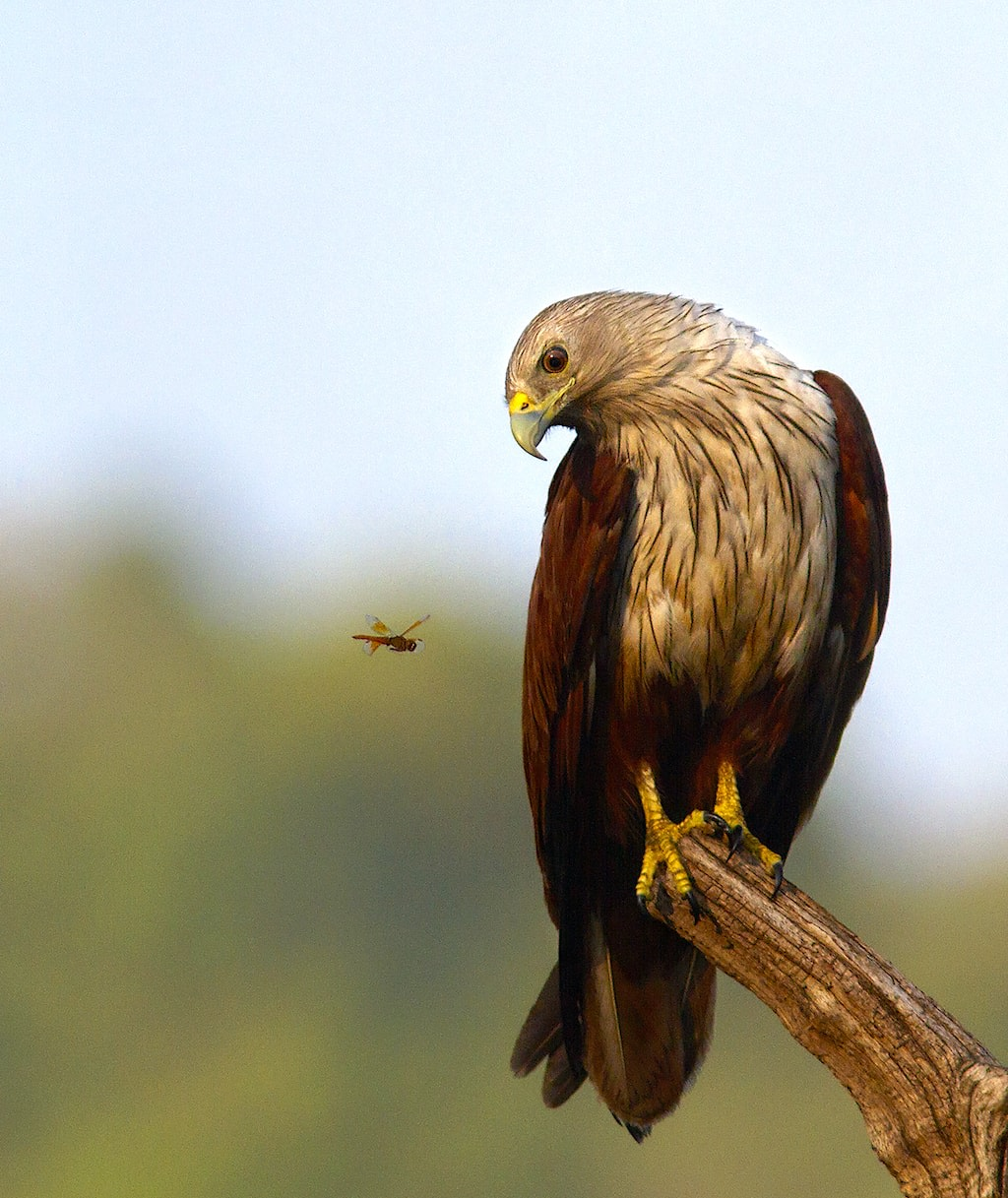Brahminy kites (Haliastur indus), with conspicuous chestnut wings, are a common, striking presence near waterbodies, flooded areas, and even inundated agricultural fields. They are widespread residents around coastal fishing villages but are also found inland through peninsular, central, and northeast India. Their diverse diet includes small fish (caught on the water's surface), frogs, crabs, lizards, snakes, insects, and birds. Like black kites, they may scavenge near human habitation.
