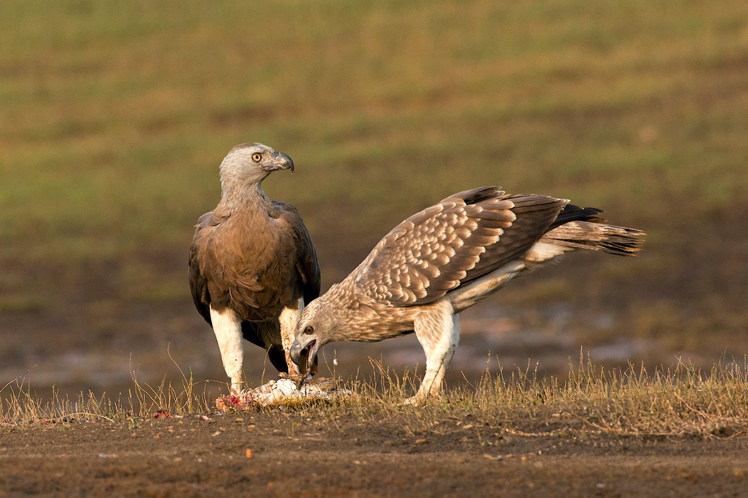 (Top) The lesser fish-eagle (Haliaeetus humilis) is amongst the smallest of the sea/fish-eagles of the genus Haliaeetus and is resident in southwest India and the Himalayas. Both this eagle and the grey-headed fish-eagle (Haliaeetus ichthyaetus) have recurved talons and prickly soles that help them with their largely piscivorous (fish-eating) lifestyle. (Above) Grey-headed fish-eagles are widely distributed across southwest, central-north and eastern India. The black-and-white bands on their tails distinguish them from the lesser fish-eagles' all-black tail.