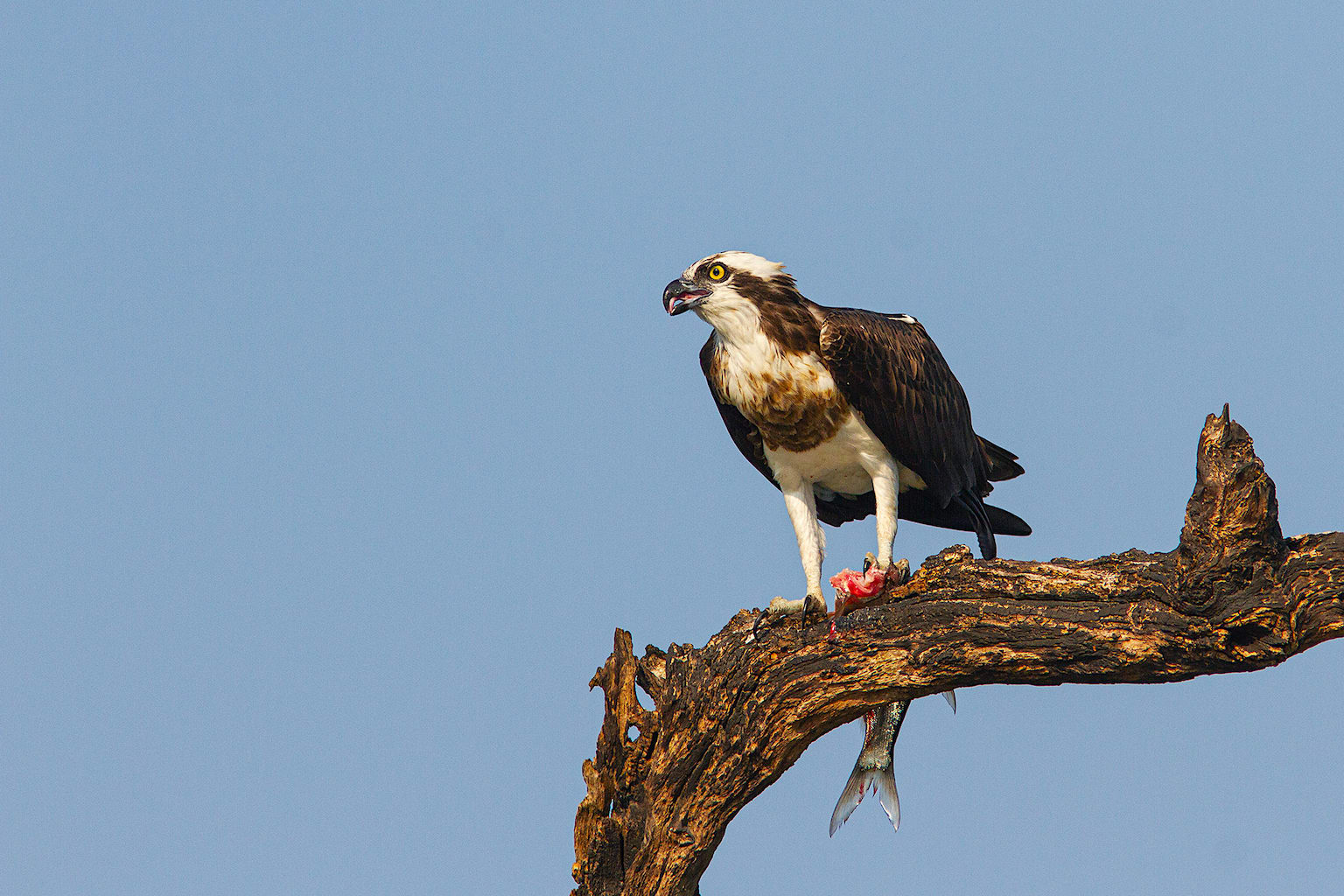 Fish make up 99 per cent of an osprey's (Pandion haliaetus) diet, making it completely dependent on waterbodies. It has several adaptations that enable a fish-eating lifestyle: reversible outer toes, prickly soles, and backward-facing scales on its talons that help hold fish in place. When it hunts, it dives head-first into the water with wings closed and can close its nostrils to keep water out. Dense, oily plumage helps waterproof its feathers to some extent.  Ospreys are found all over the globe and are the second-most widely distributed raptor species after the peregrine falcon. On the Indian subcontinent they are mainly winter visitors. Across India, they are found around large waterbodies including rivers. Some records indicate a few birds spending the summer at inland waterbodies in Karnataka.