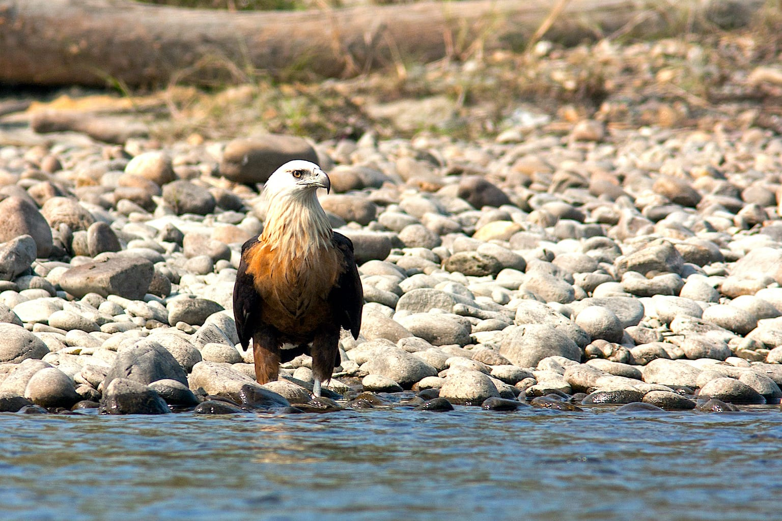 The endangered Pallas's fish-eagle (Haliaeetus leucoryphus) lives in north and northeastern India. In addition to the fish it picks off the water's surface, this mighty eagle hunts waterbirds like geese, ducks, coots, and demoiselle cranes, as well as young ibises, openbills, darters and terns from heronries and nesting sites. This is a heavyweight lifter of the avian world and has been recorded flying and carrying adult greylag geese and huge carp fish twice its weight. Like other fish-eagles, birds mate for life and build on the same nest over multiple years. Their nests sometimes get so big that they tower over the eagles.