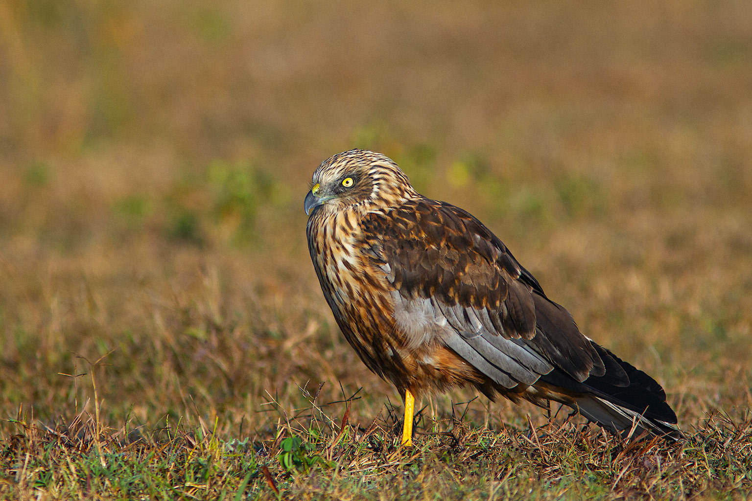 Two species of marsh harriers winter in India. Western marsh harriers (Circus aeruginosus) are common and widespread across the country, while eastern marsh harriers (Circus spilonotus) are rare and largely restricted to northeast and southeast India. These birds usually inhabit marshlands, waterbodies with reeds, and open grasslands. Marsh harriers hunt by gliding low, slowly looking for prey. They feed on waterfowl (sometimes as heavy as them), small birds, small mammals, reptiles, frogs, insects and fish. Unlike most harrier species marsh harriers tend to gather in small numbers over large waterbodies, probably due to their habitat preferences.