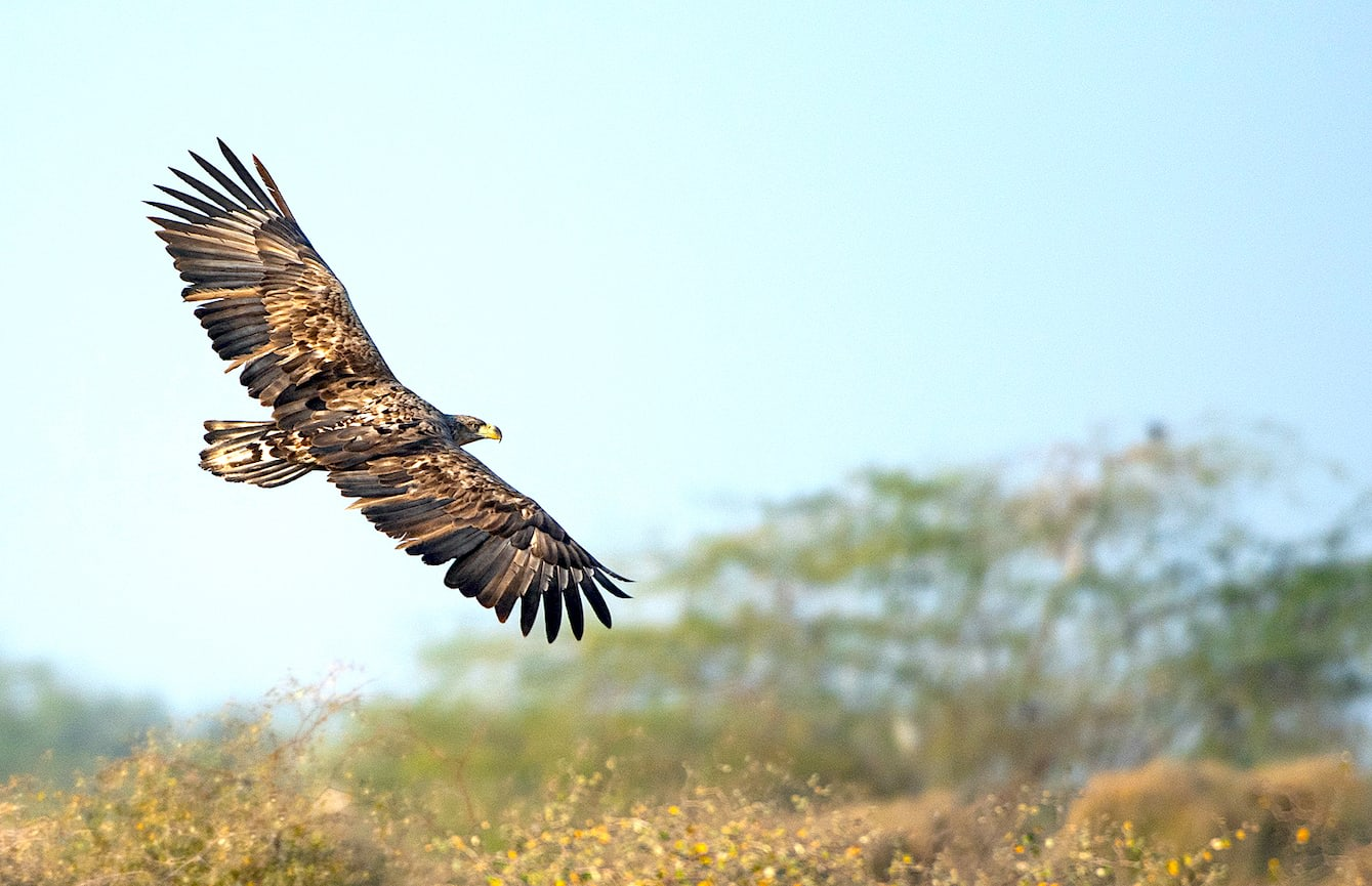 The white-tailed eagle (Haliaeetus albicilla) is the largest eagle species in India (immature bird pictured here). It is a rare winter migrant to waterbodies across the country, though a few birds have also been recorded scavenging along with vultures and other eagles at Tal Chapar Sanctuary and Bikaner, Rajasthan. Its white tail is a definitive indicator of the species.