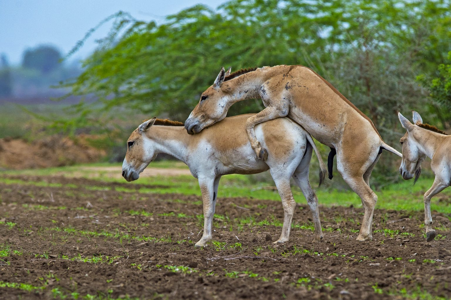 "Breeding season is a time of dominance display. ""Territorial stallions soiled themselves with mud/slush during the breeding period, which could be a visual display,"" writes Shah, adding that, ""The stallion probably uses olfactory and visual markings like defecation and micturition [urinating] on territory borders and other parts of its territory.  Fights between stallions are not uncommon at this time of year. Most of the time, Shah writes, the territory-holder is the winner, which results in the displaced stallion occupying part of its former range or wandering around for a new area to occupy."