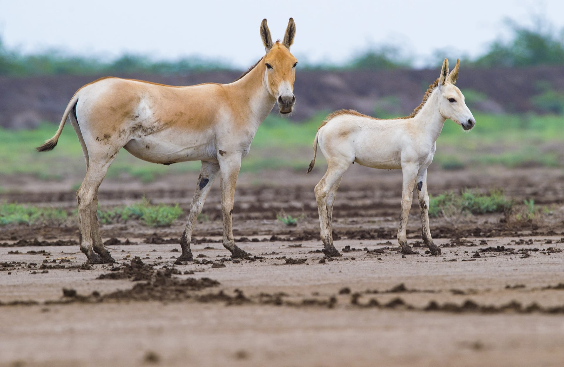 "The healthier the habitat, the higher the chances of successful birthing. Shah reports that ""The year following good rainfall and high productivity recorded higher foal-to-female ratio."" Khurs have a relatively long gestation period of eleven months, with births peaking between April and September."