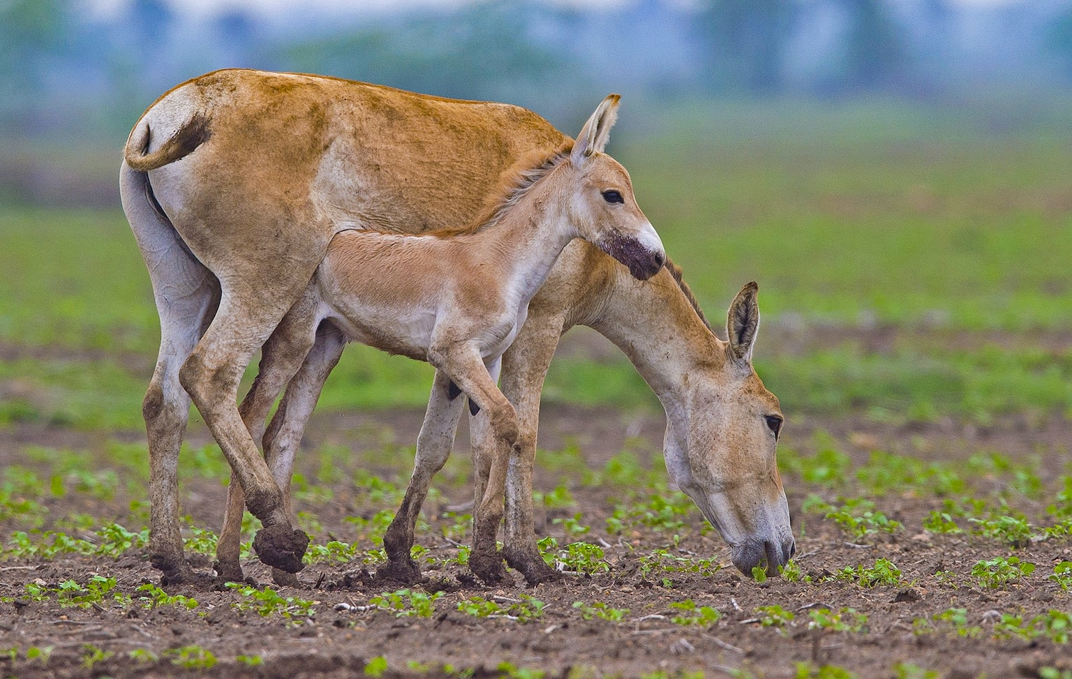 "Like with most animals, khurs breed when food is plentiful in their habitat. ""Breeding is a seasonal activity occurring predominantly during monsoon,"" reports the studbook. It goes on to say that males protect territories based on their dominance hierarchy, ""so males higher up in the hierarchy tend to have better habitat conditions in their territories while subordinate males are relegated to inferior territories."" Females move between territories at this time of year, choosing to mate with males having the best territory."