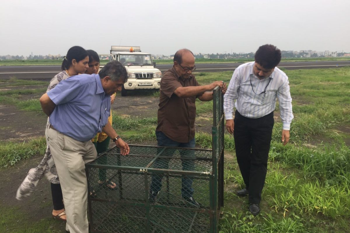 Biswajit Roy Chowdhury along with his team preparing cages to catch jackals at NSCBI airport. Photo: Nature Environment and Wildlife Society (NEWS)