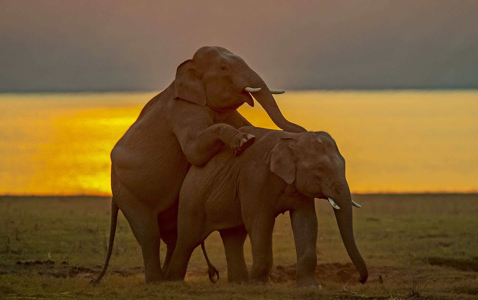 """Chemical signals are also integral to maintaining social cohesiveness within a group. The most significant of these chemical communications is musth, which is marked by secretions, hormonal spikes, and changes in the behaviour of adult males. """"One purpose of this is to let other males know to keep away, as musth is synonymous with increased vigour and high physical power,"""" explains Lakshminarayanan. """"The other is to let females know that one is ready for breeding.""""  Dominant males in musth have their choice of mate and will seek out herds with receptive females at this time. """"Even if there are 20 females, the bull will mate with all of them,"""" Lakshminarayanan says. """"but he might also mate with females from multiple herds if they are available."""""""